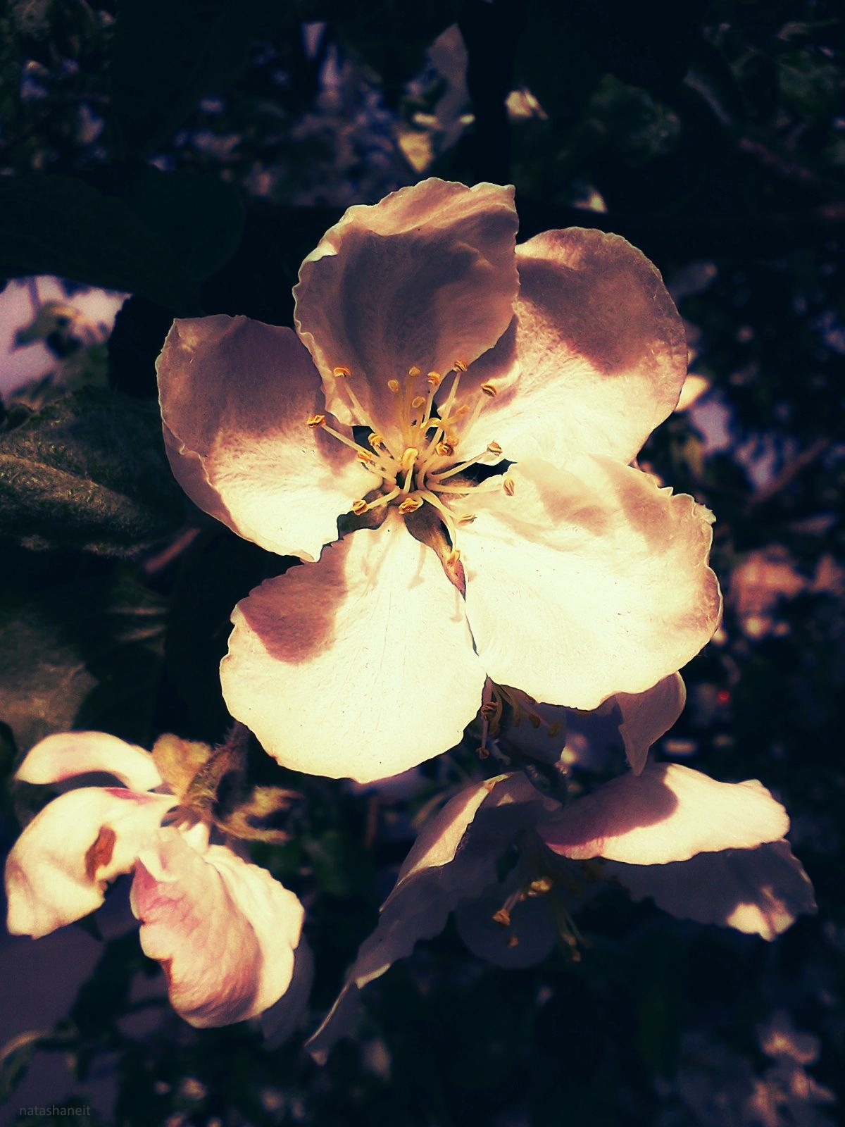 Blooming of an apple tree by natashaneit