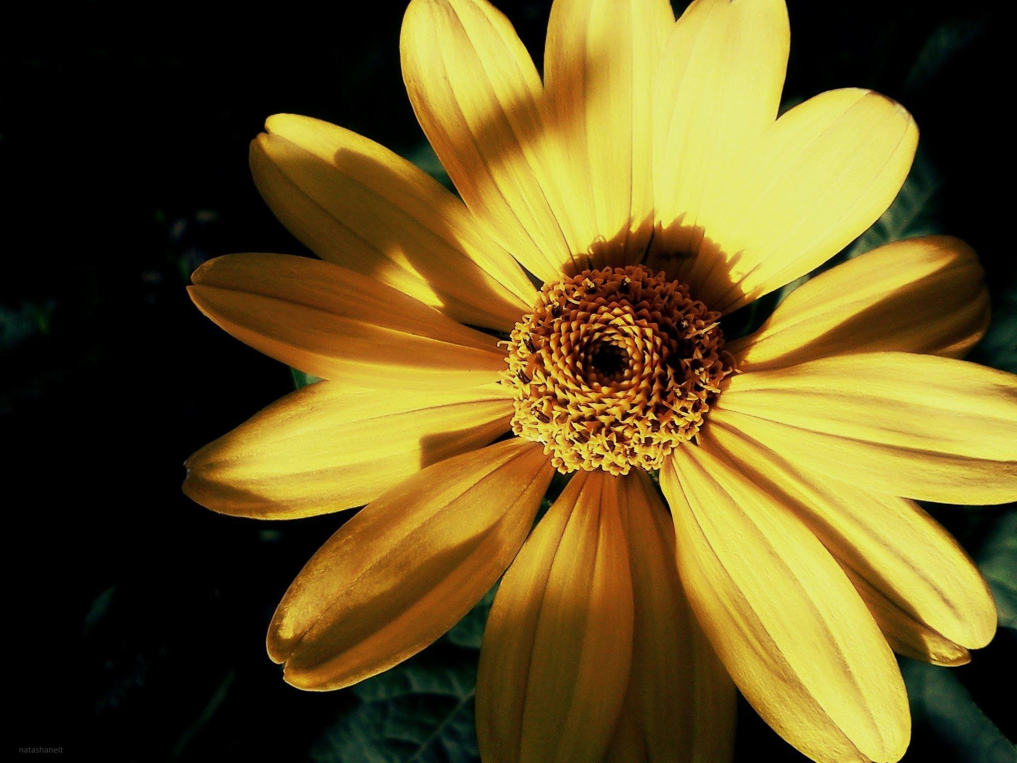 Yellow chamomile by natashaneit