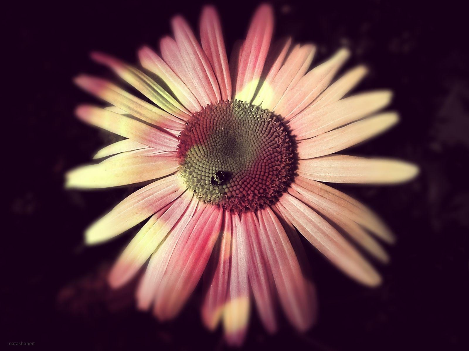 Daisy by natashaneit