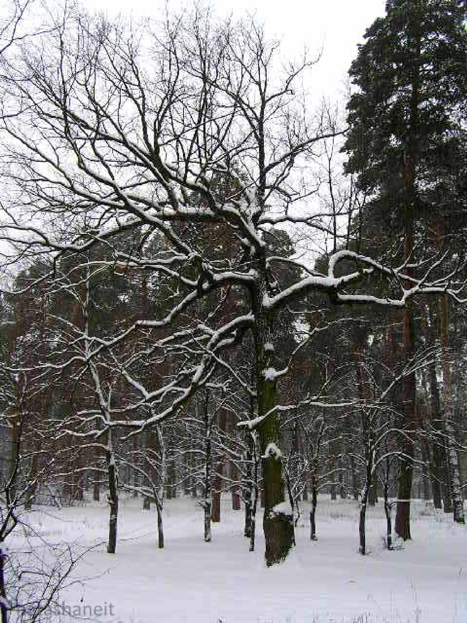 Trees in the snowy forest by natashaneit
