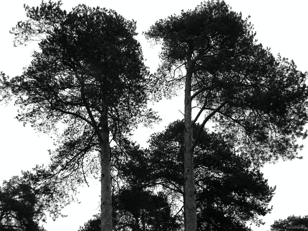Pine forest by natashaneit
