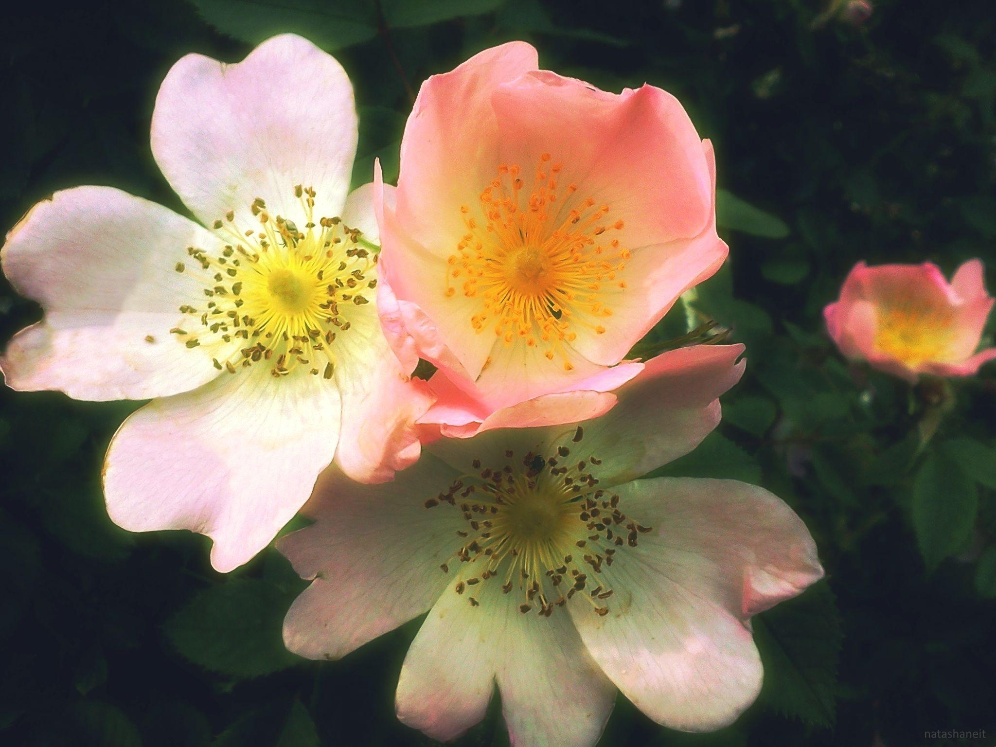 Pink flowers of wild rose by natashaneit