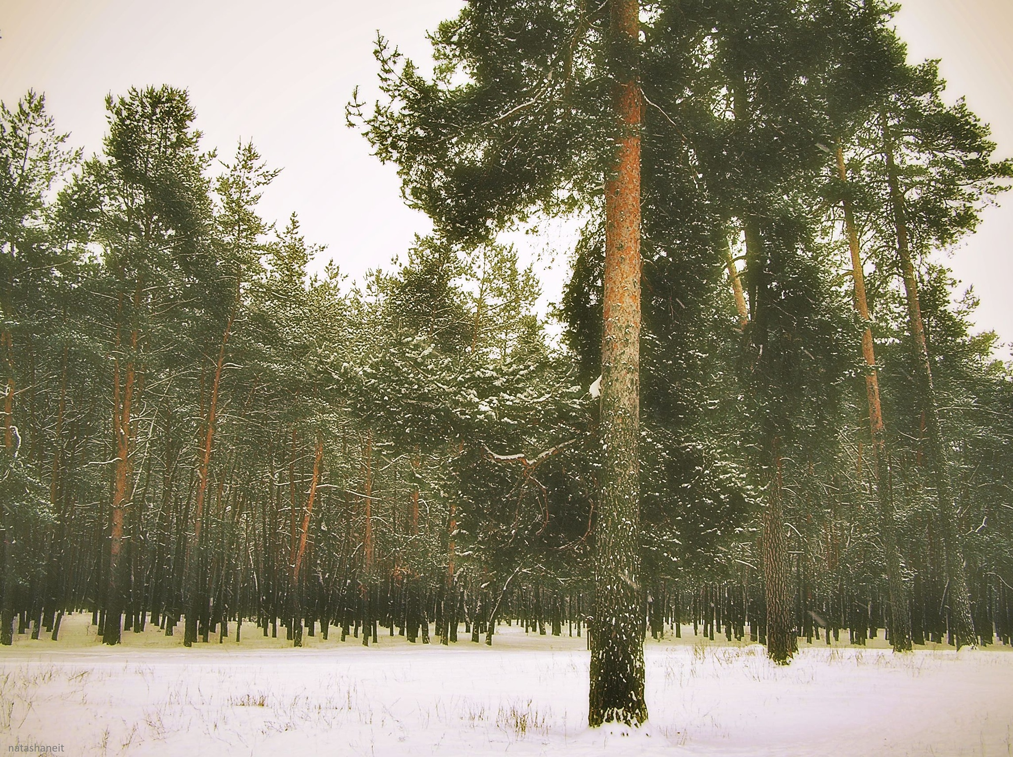 Snow day in a pine forest by natashaneit