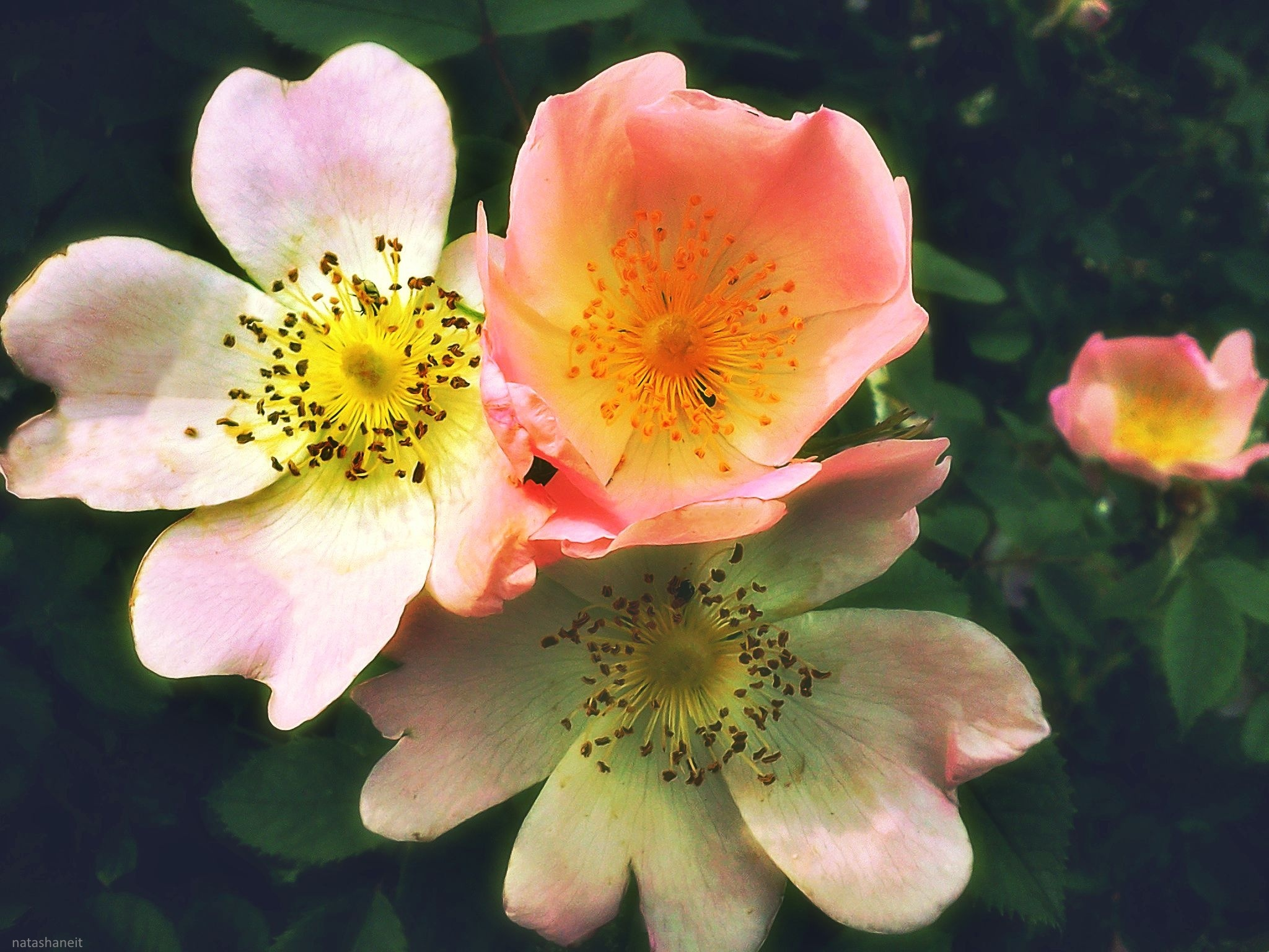 Photo in Nature #wild rose #blooming #nature
