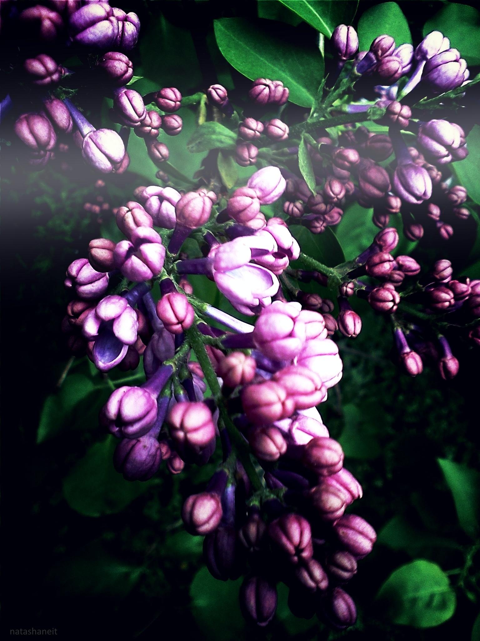 Lilac by natashaneit