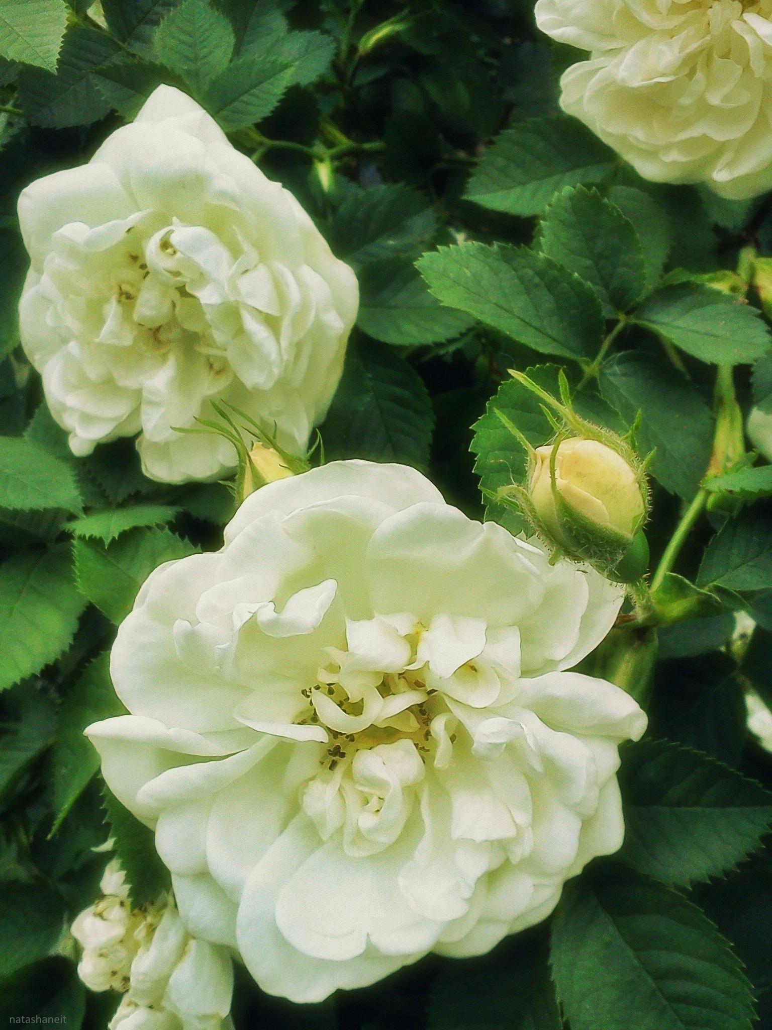White rose by natashaneit