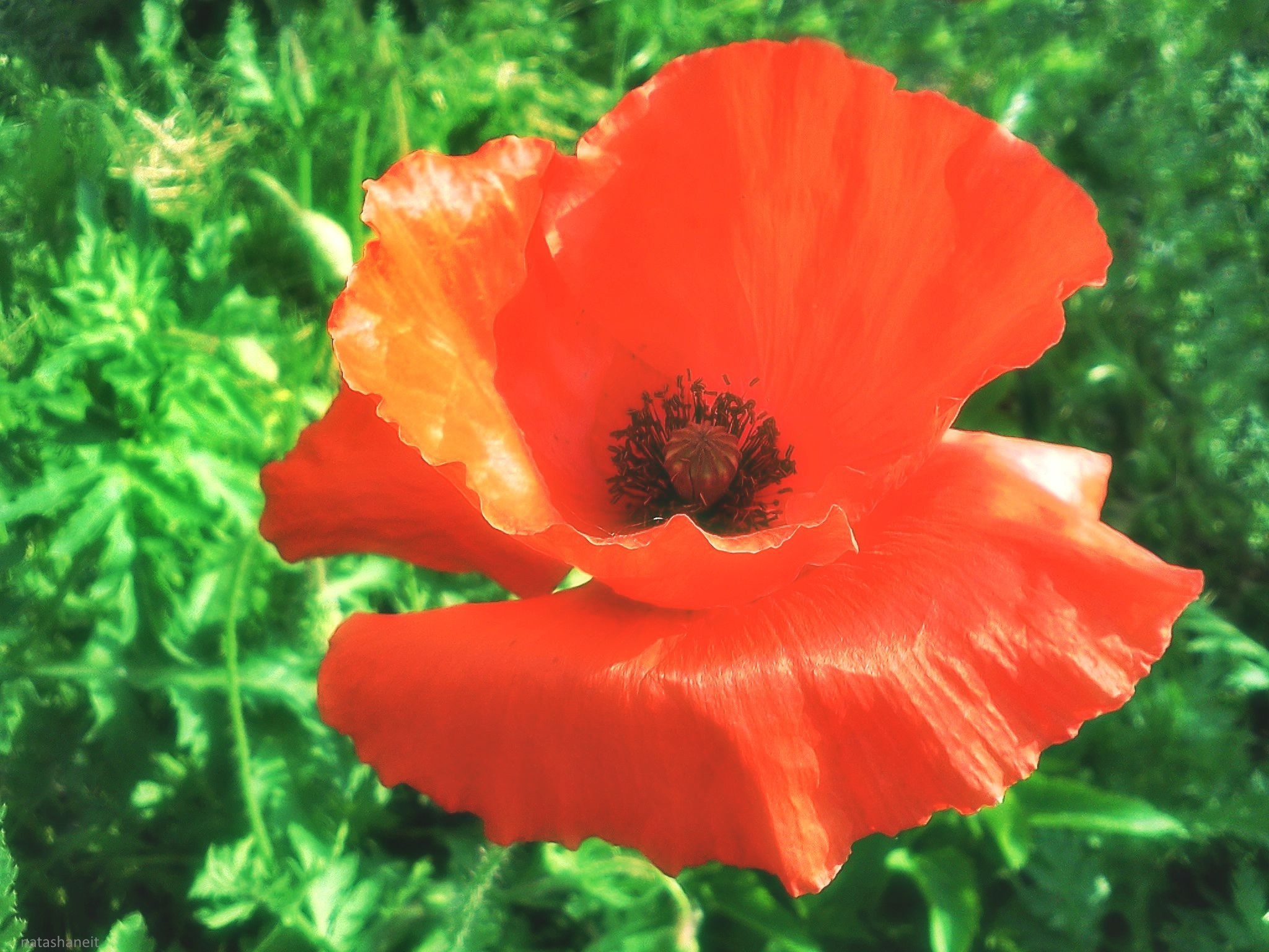 Red poppy in the meadow by natashaneit