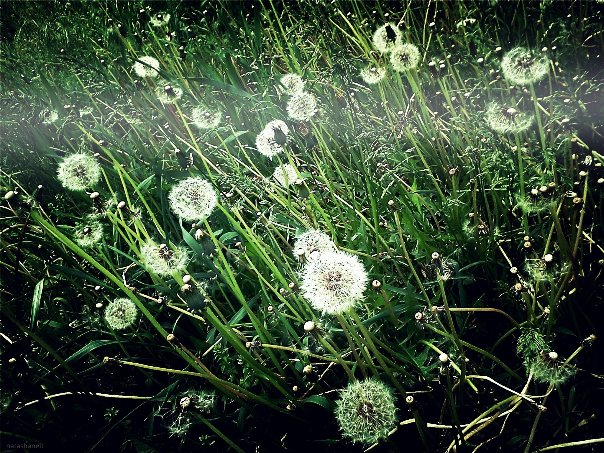 Glade of dandelions by natashaneit