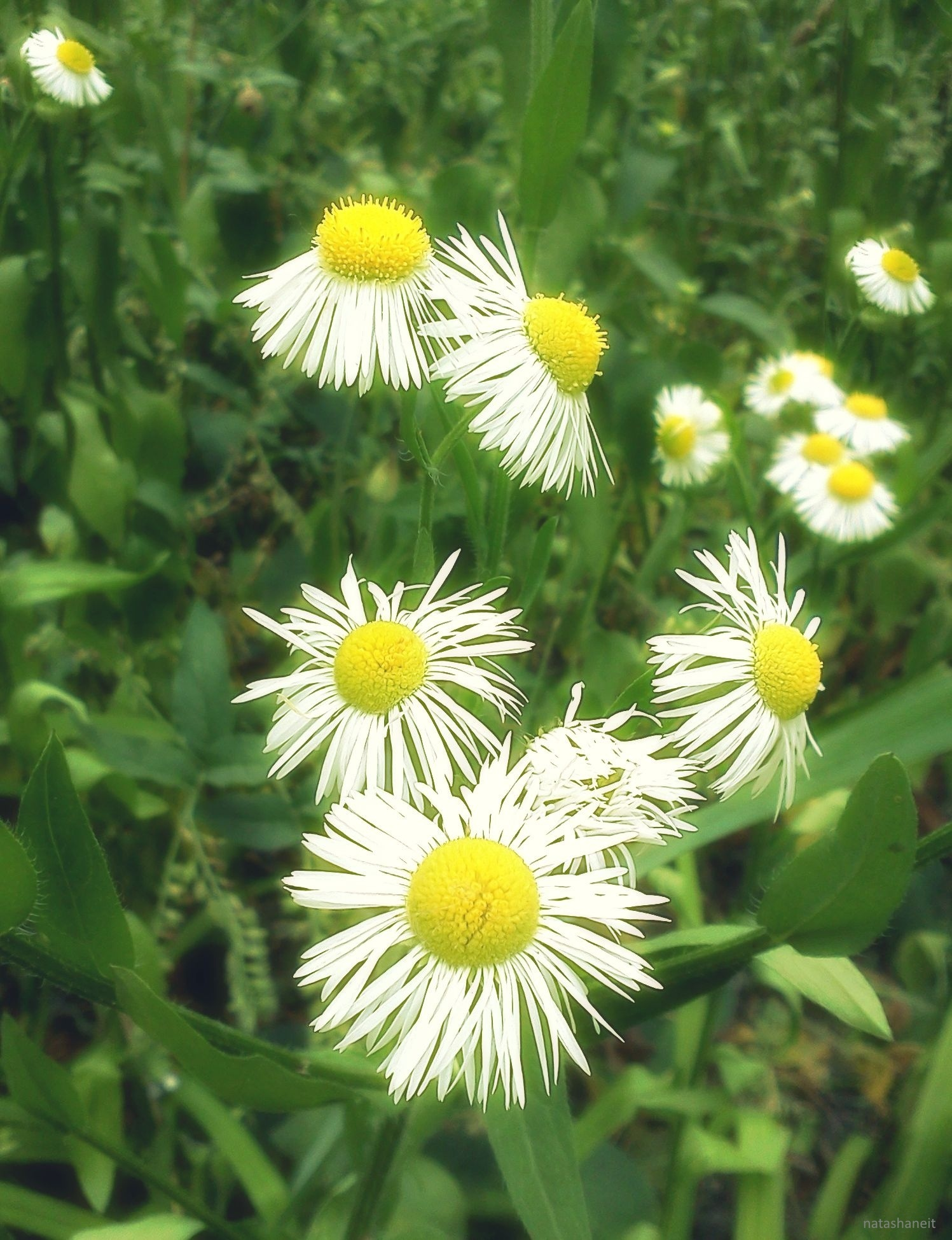 Field chamomile by natashaneit
