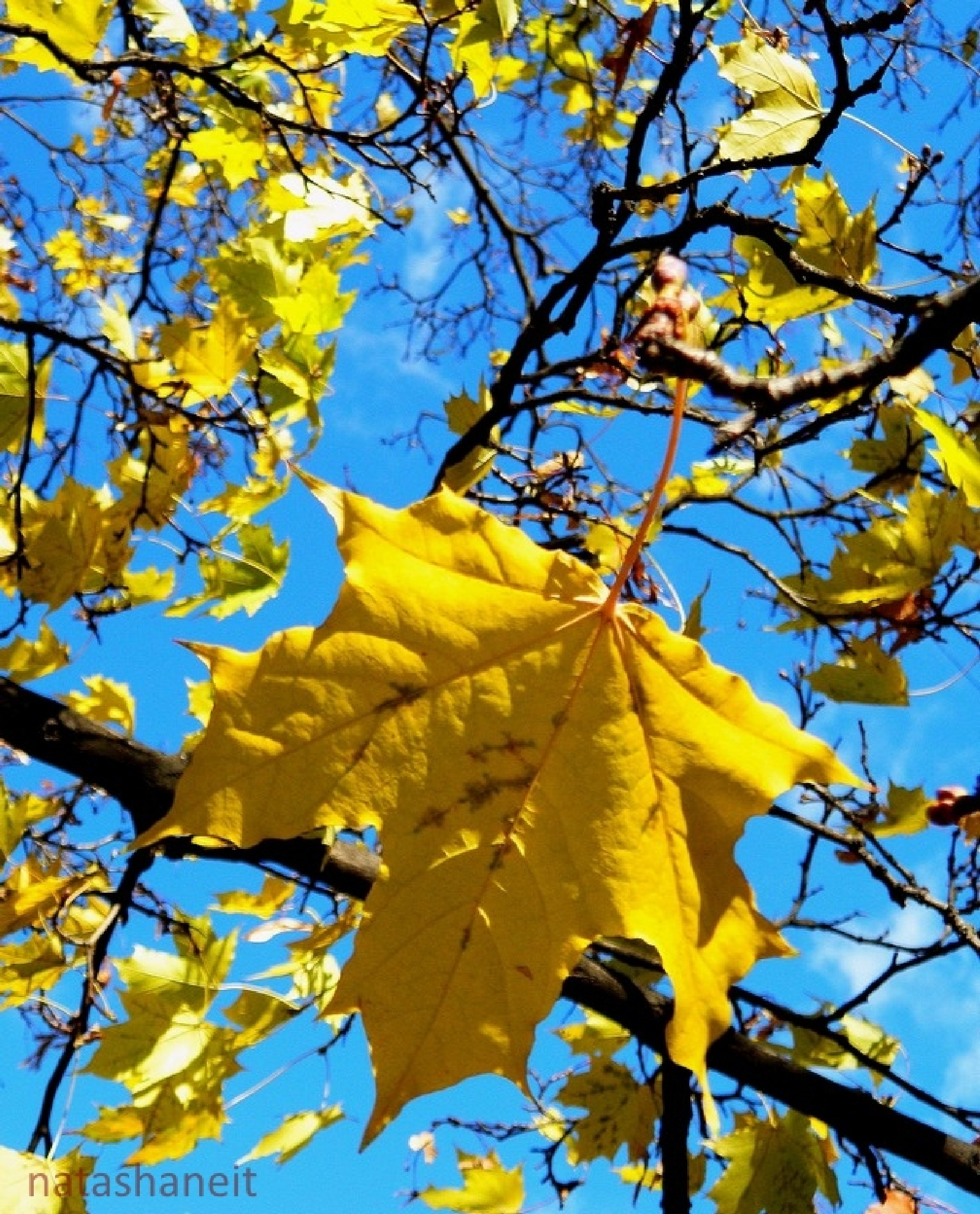 Maple leaves against the blue sky by natashaneit