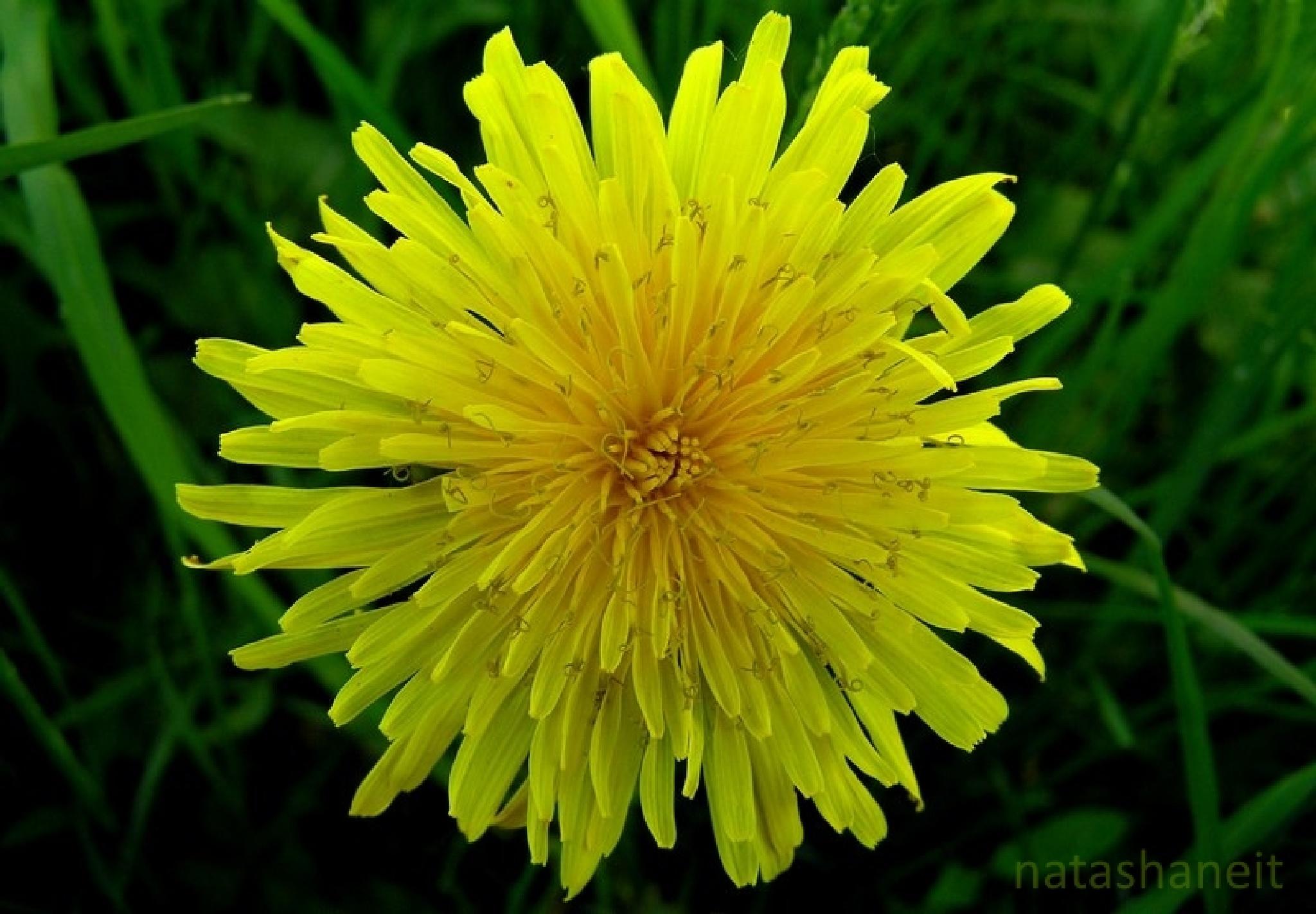 Dandelion by natashaneit