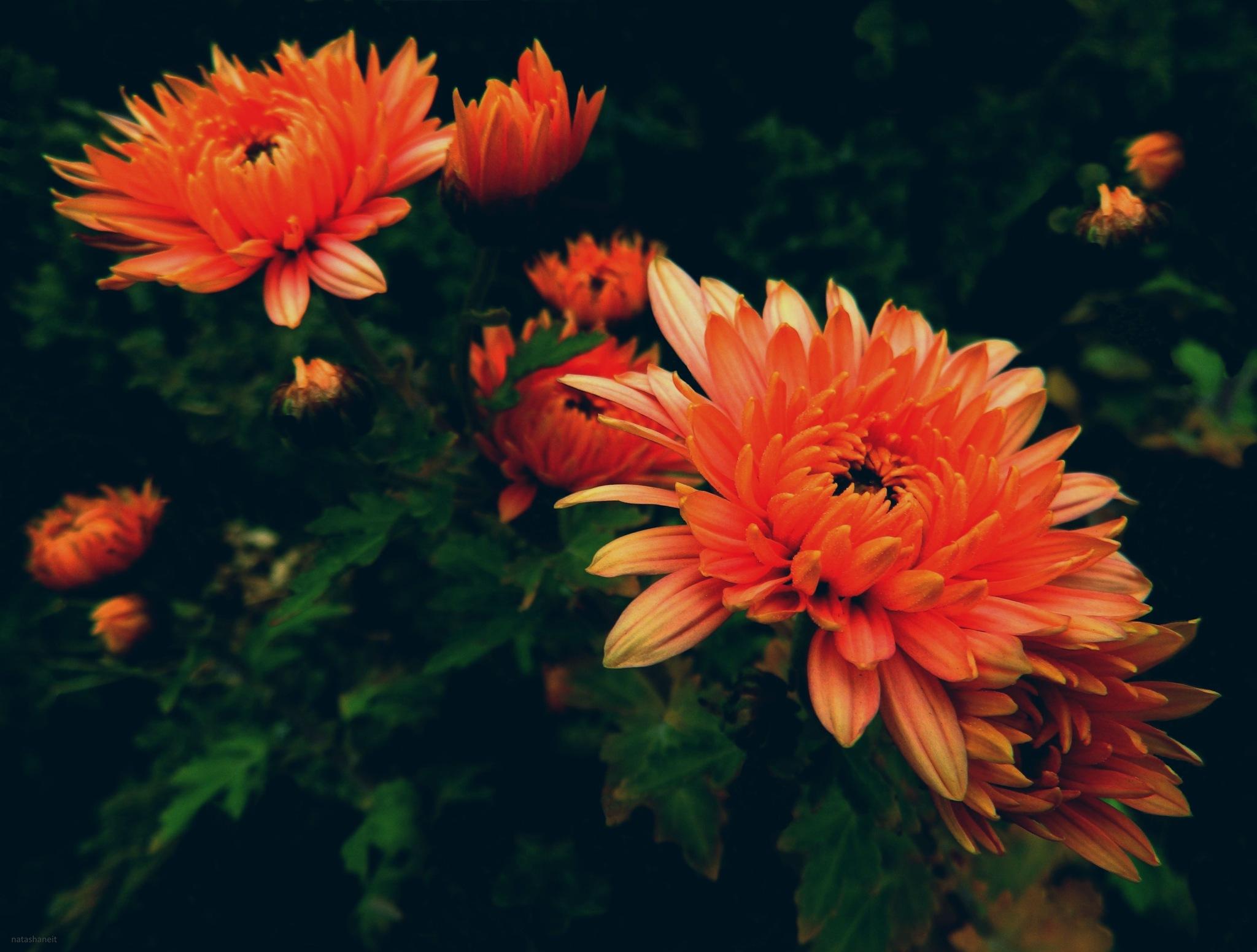 Orange chrysanthemum by natashaneit