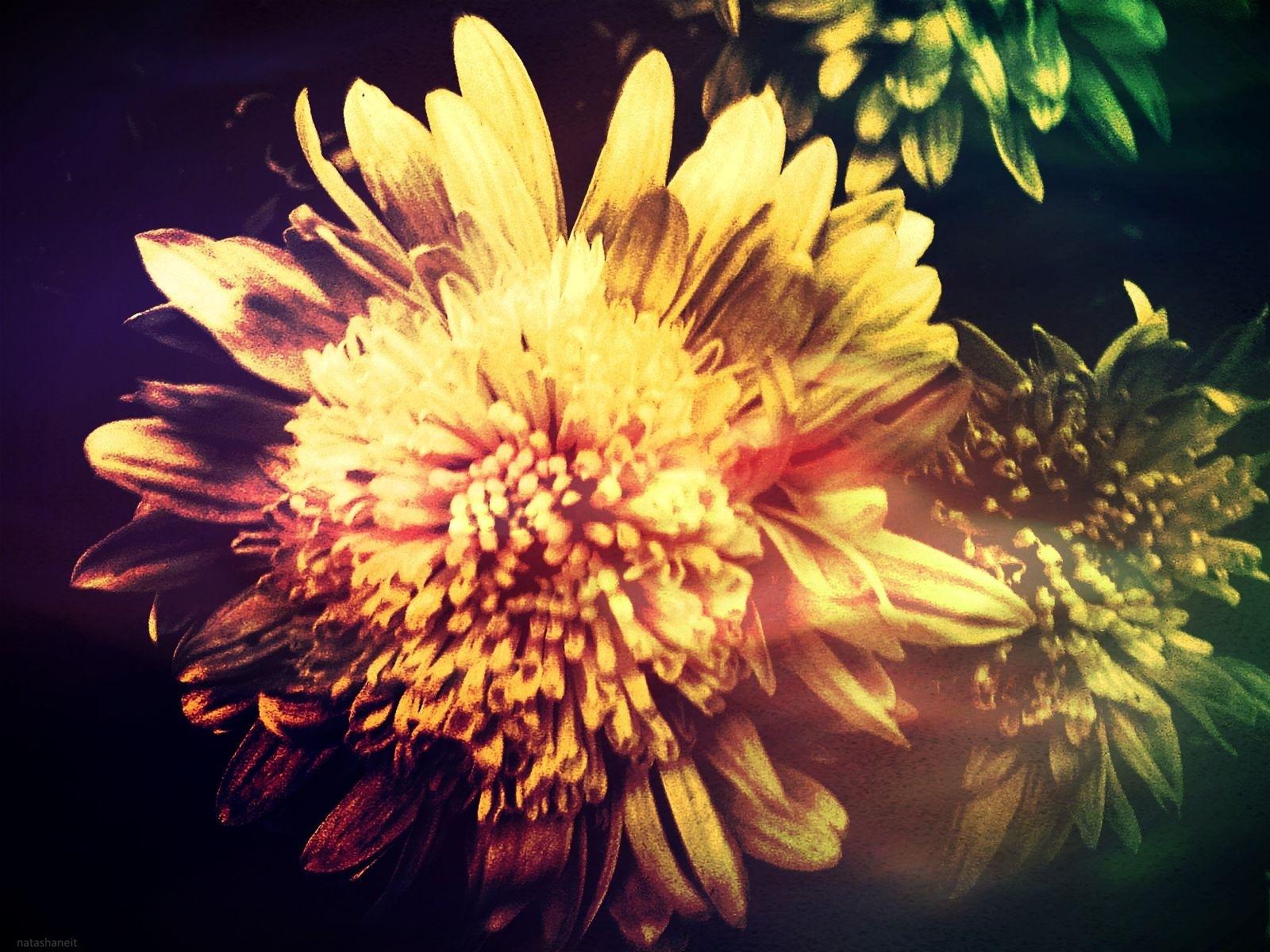 Chrysanthemums by natashaneit