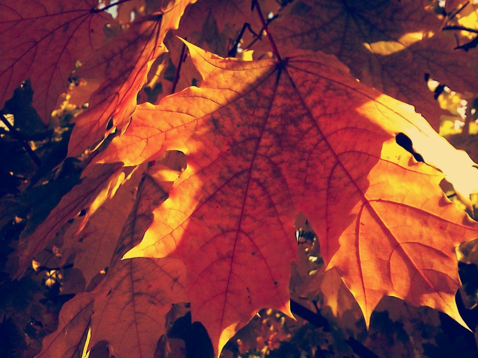 Autumn maple by natashaneit