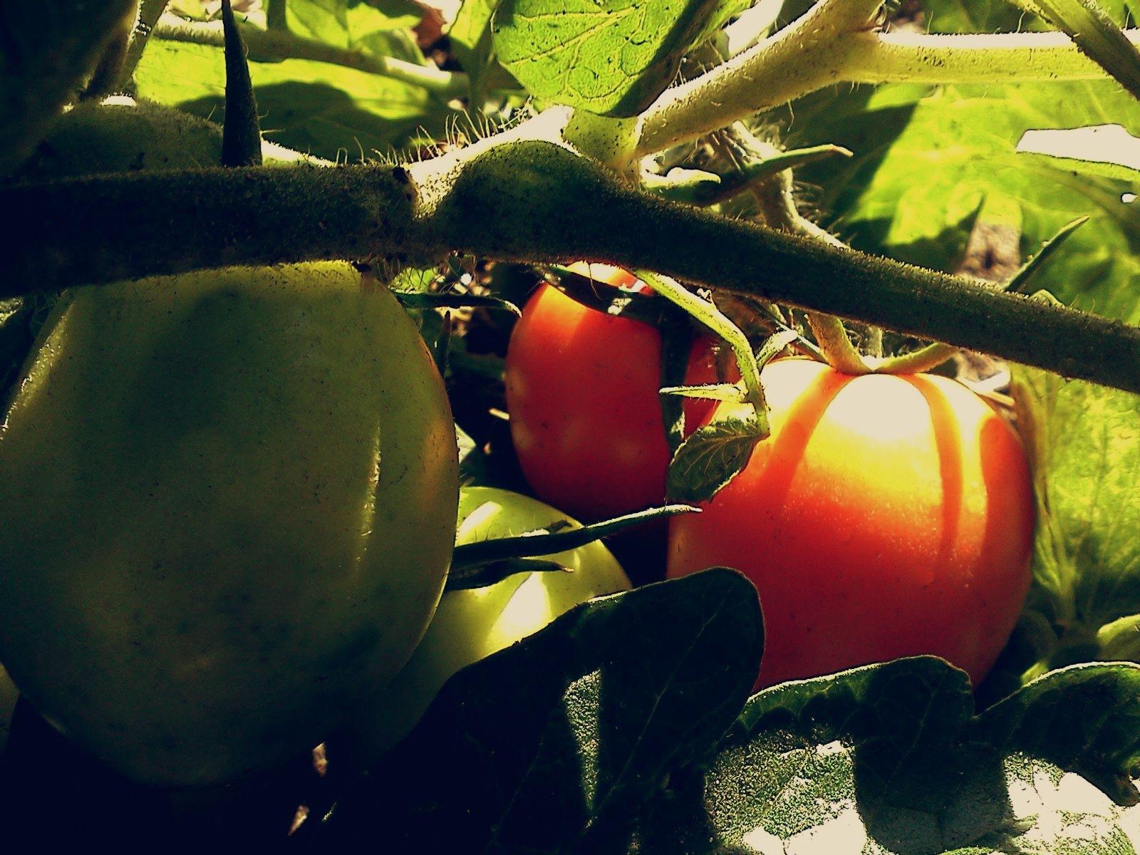 Tomatoes by natashaneit