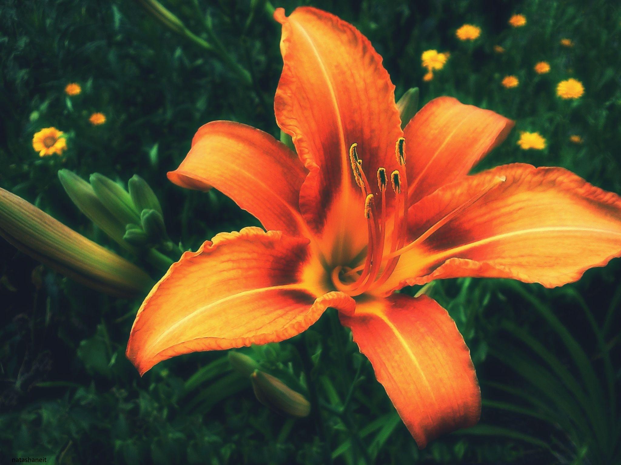 Orange lily and buds by natashaneit