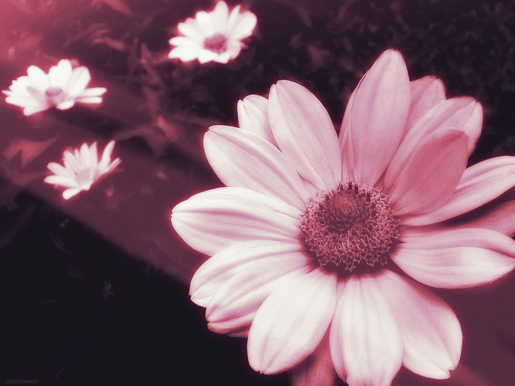 Daisies and light by natashaneit