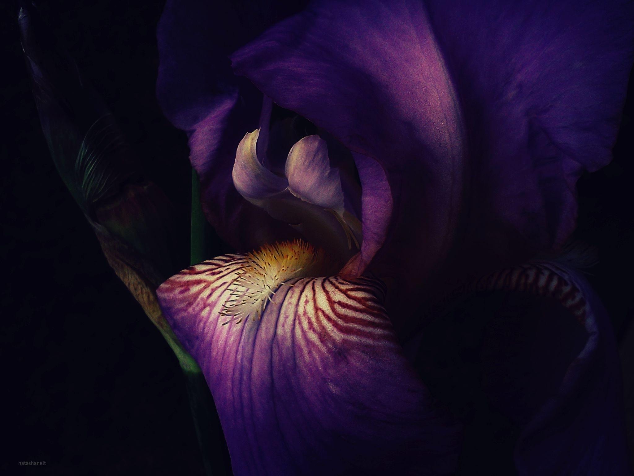 Iris and bud by natashaneit