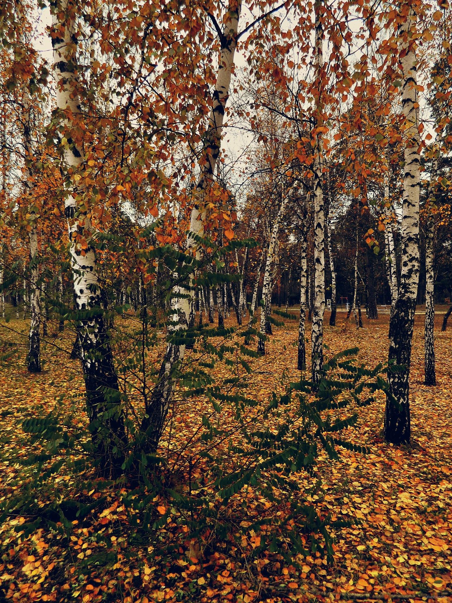 Birches and autumn forest by natashaneit