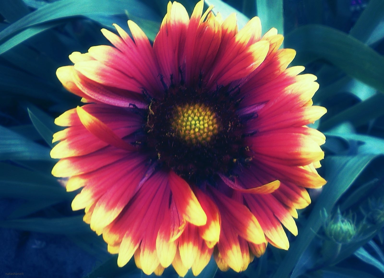 Flower and bud by natashaneit