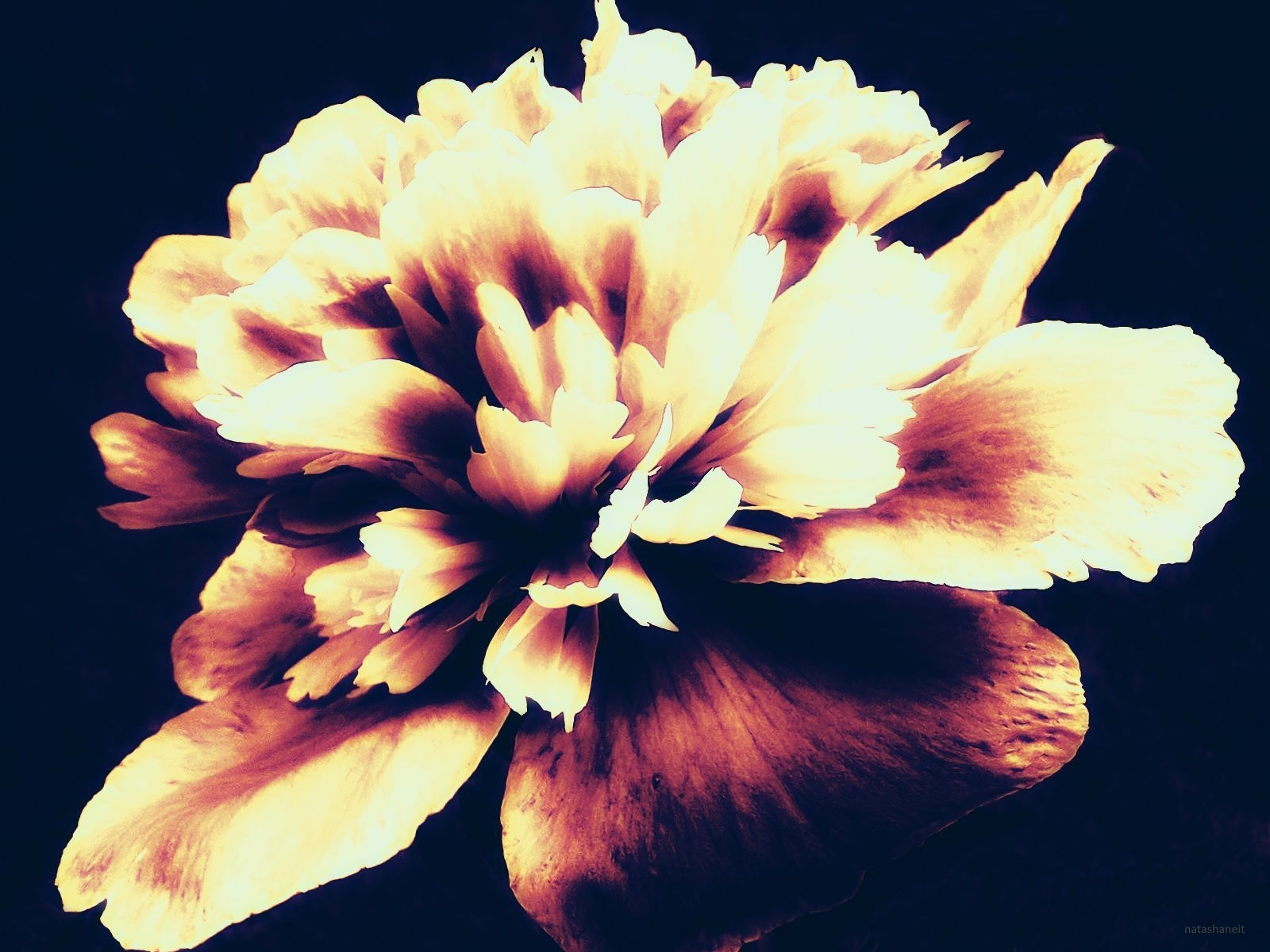 Photo in Fine Art #peony #flower #nature #summer
