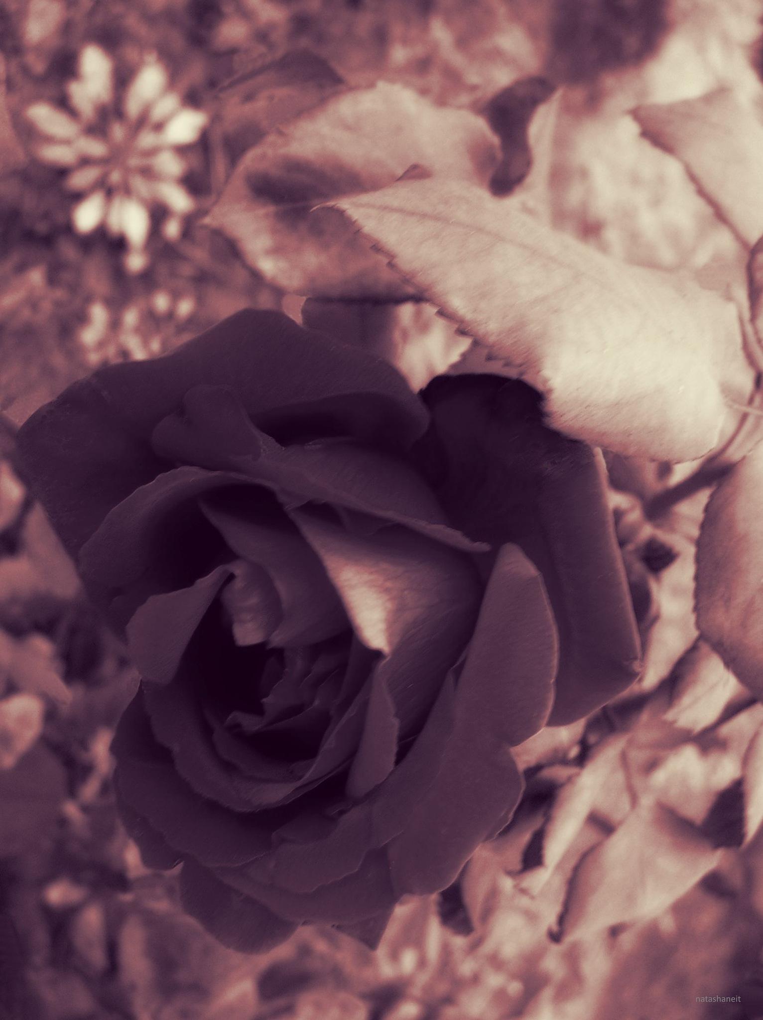 Rose by natashaneit