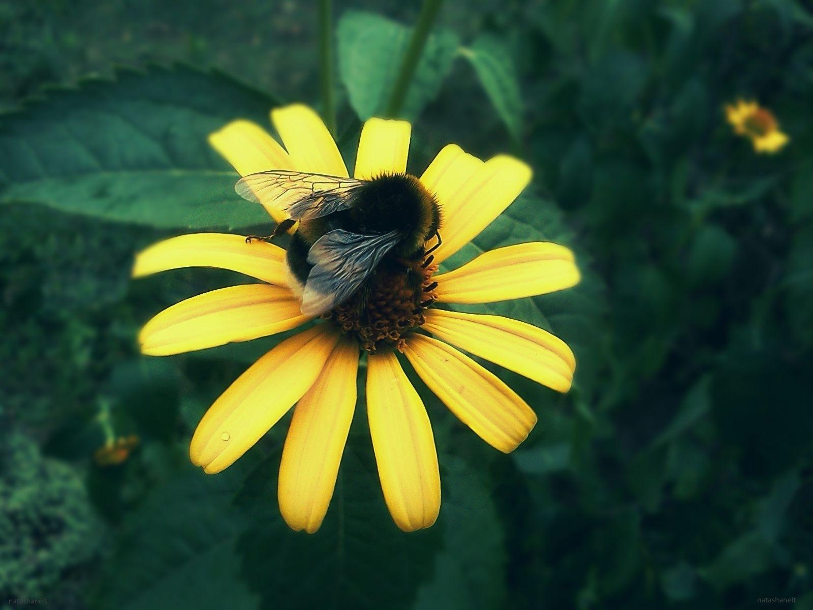 Yellow daisy and bumblebee by natashaneit