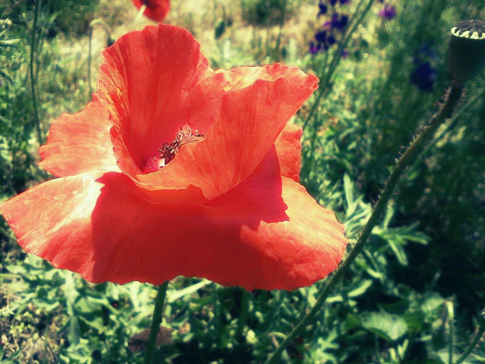 Poppies by natashaneit
