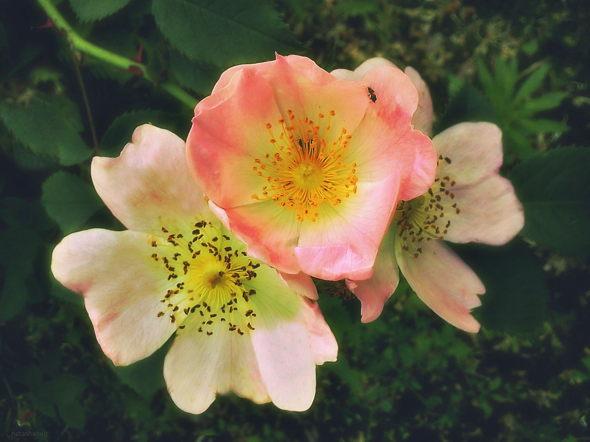 Blooming dog rose by natashaneit
