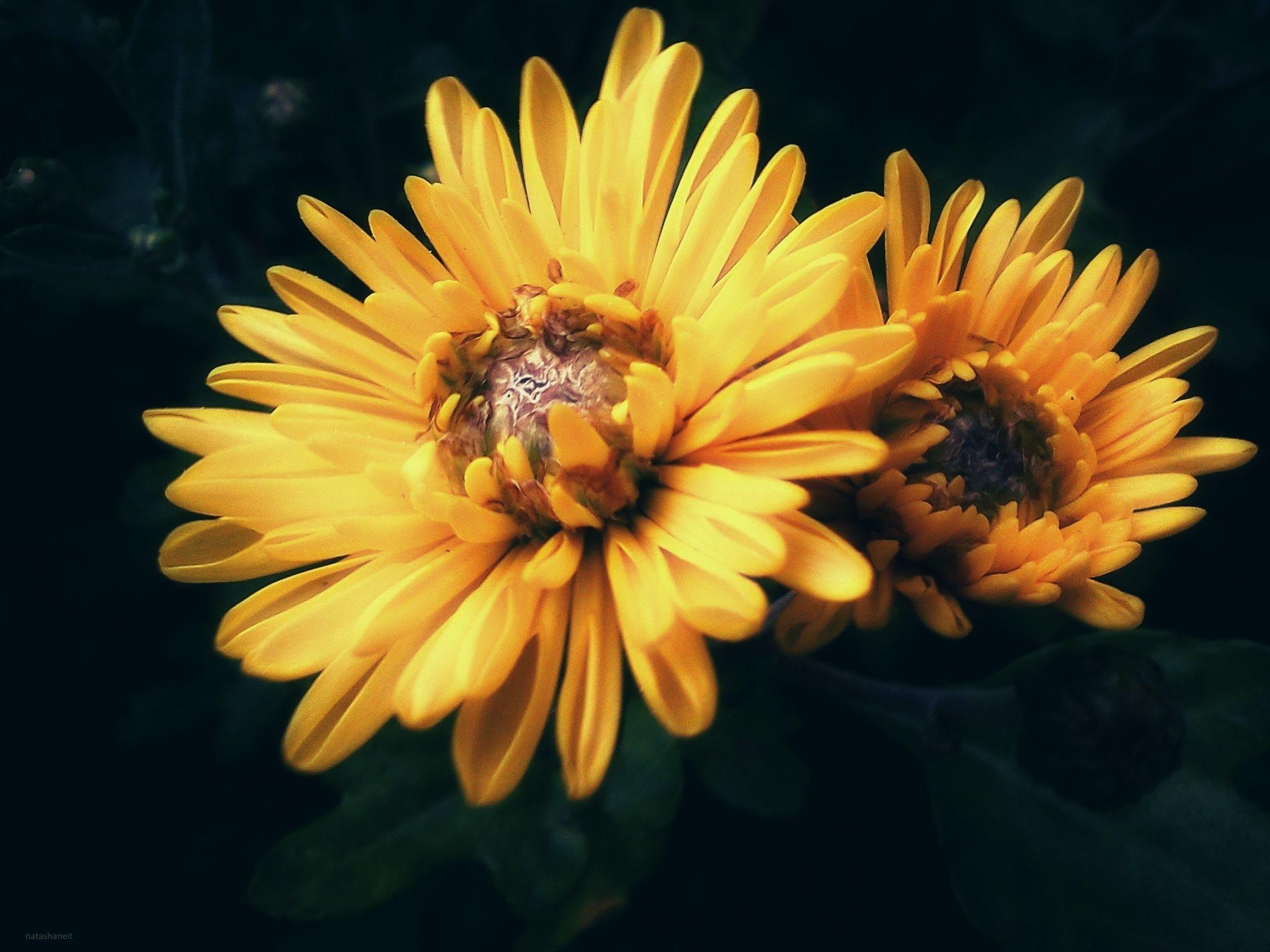 Yellow chrysanthemums by natashaneit