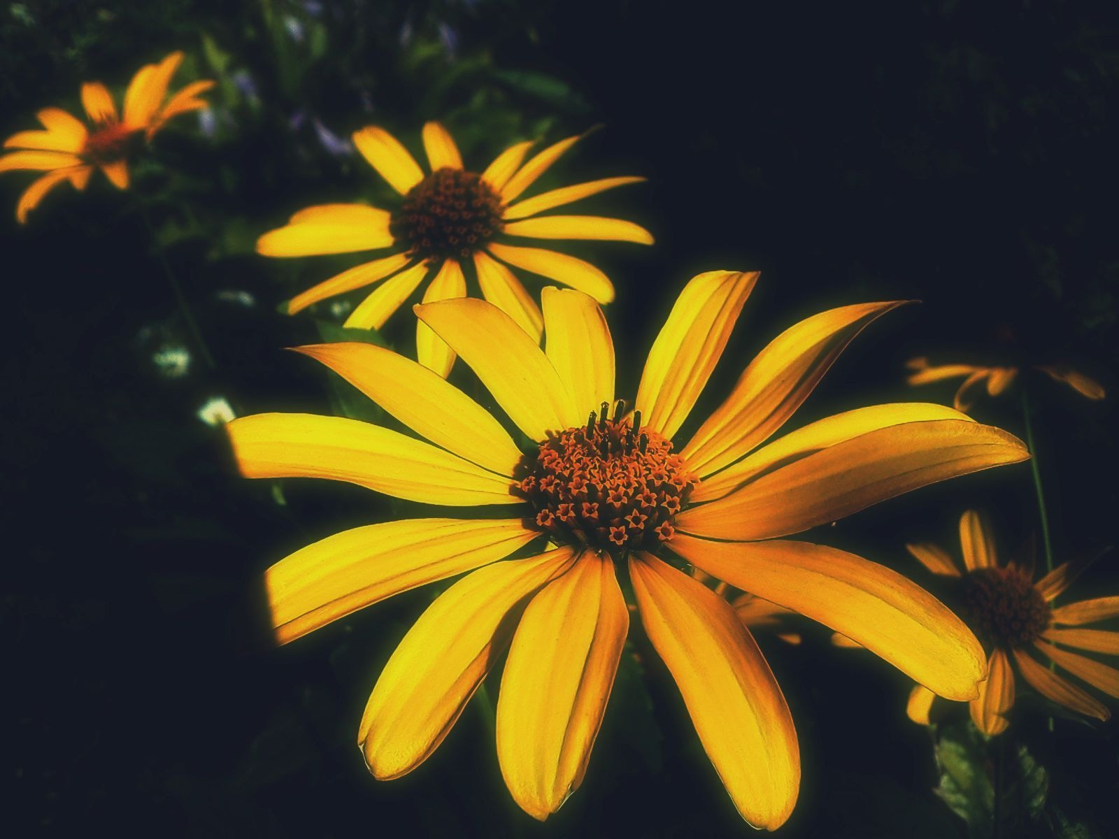 Yellow daisies in a strip of sunlight by natashaneit