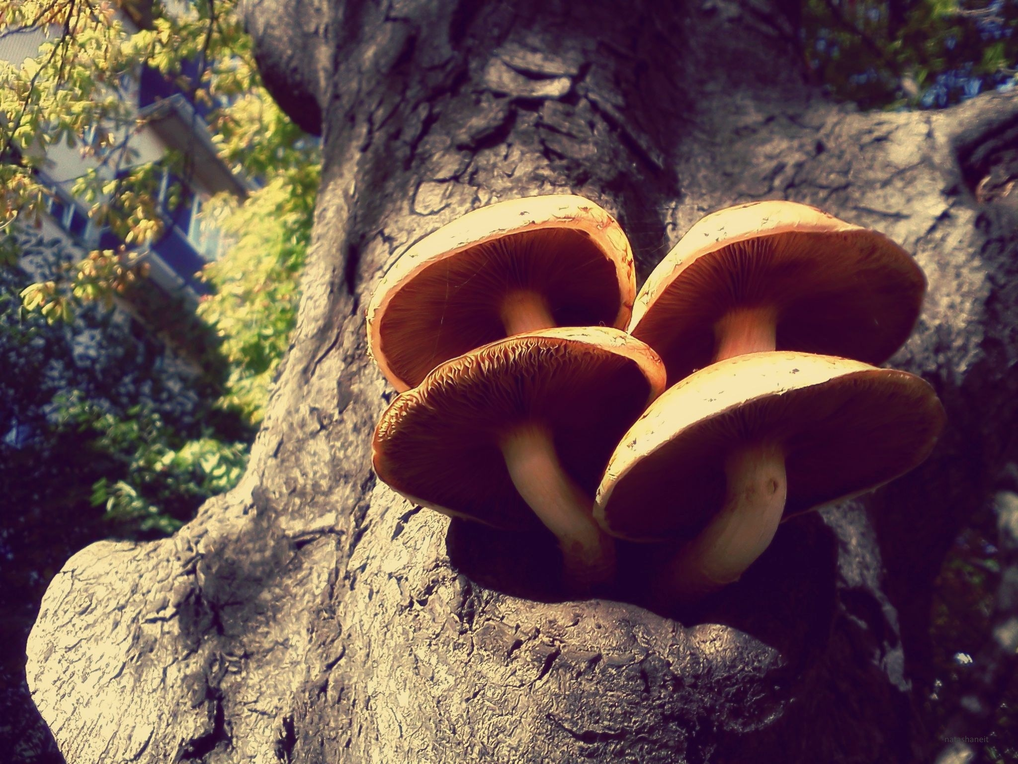 Mushrooms on a tree near our house today by natashaneit