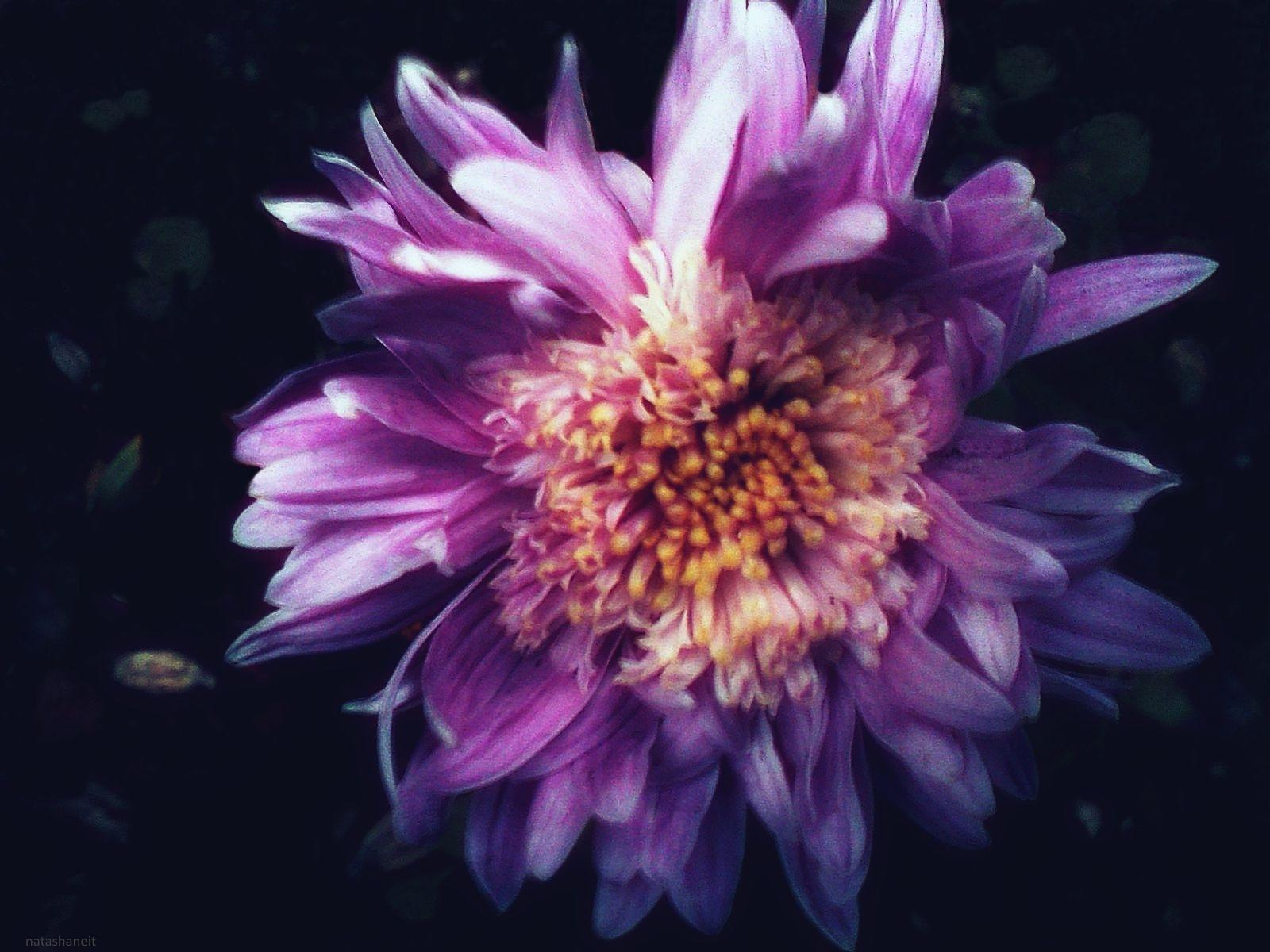 Chrysanthemum by natashaneit