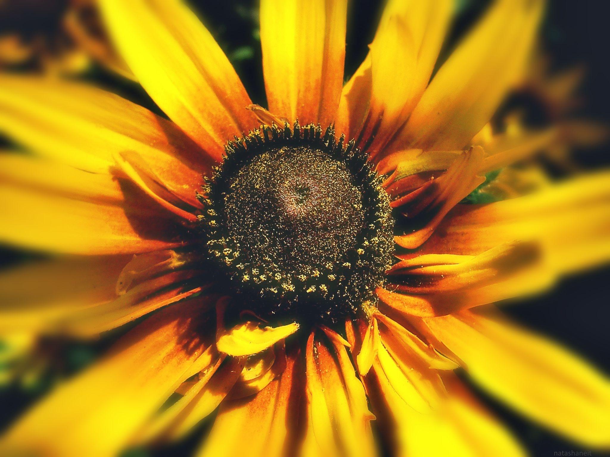 Flower - Sun by natashaneit