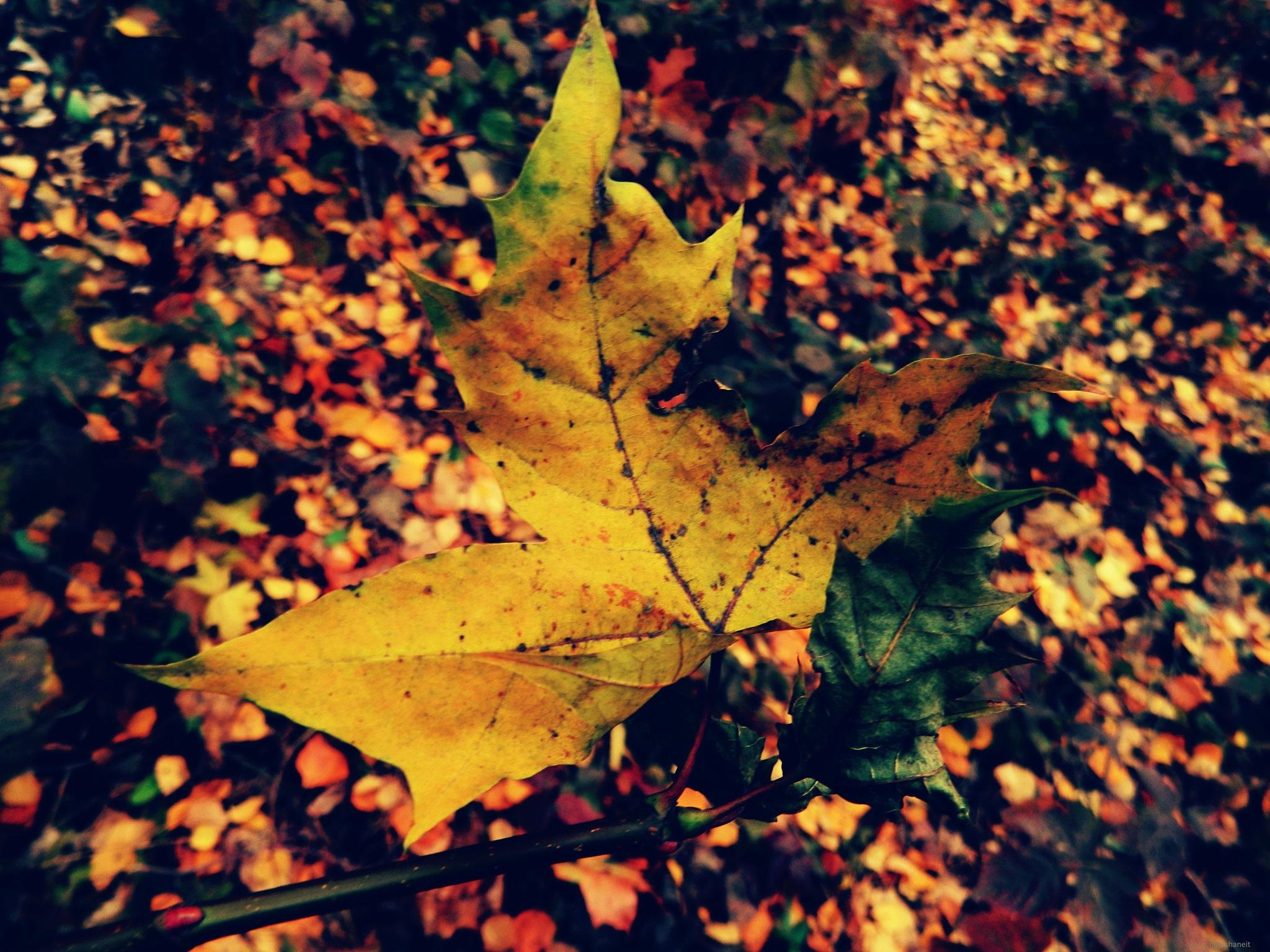 Maple leaf by natashaneit