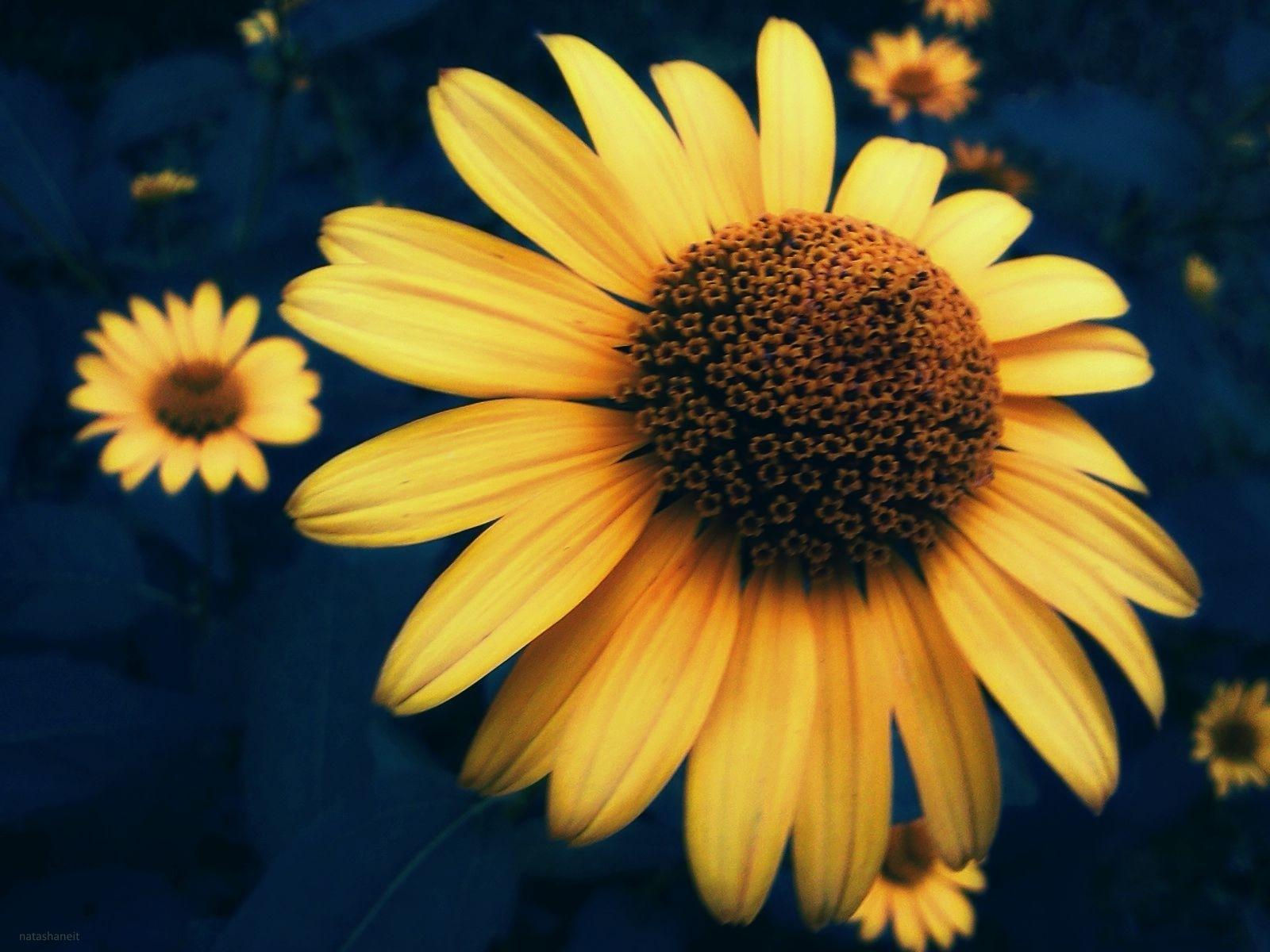 Yellow daisies by natashaneit