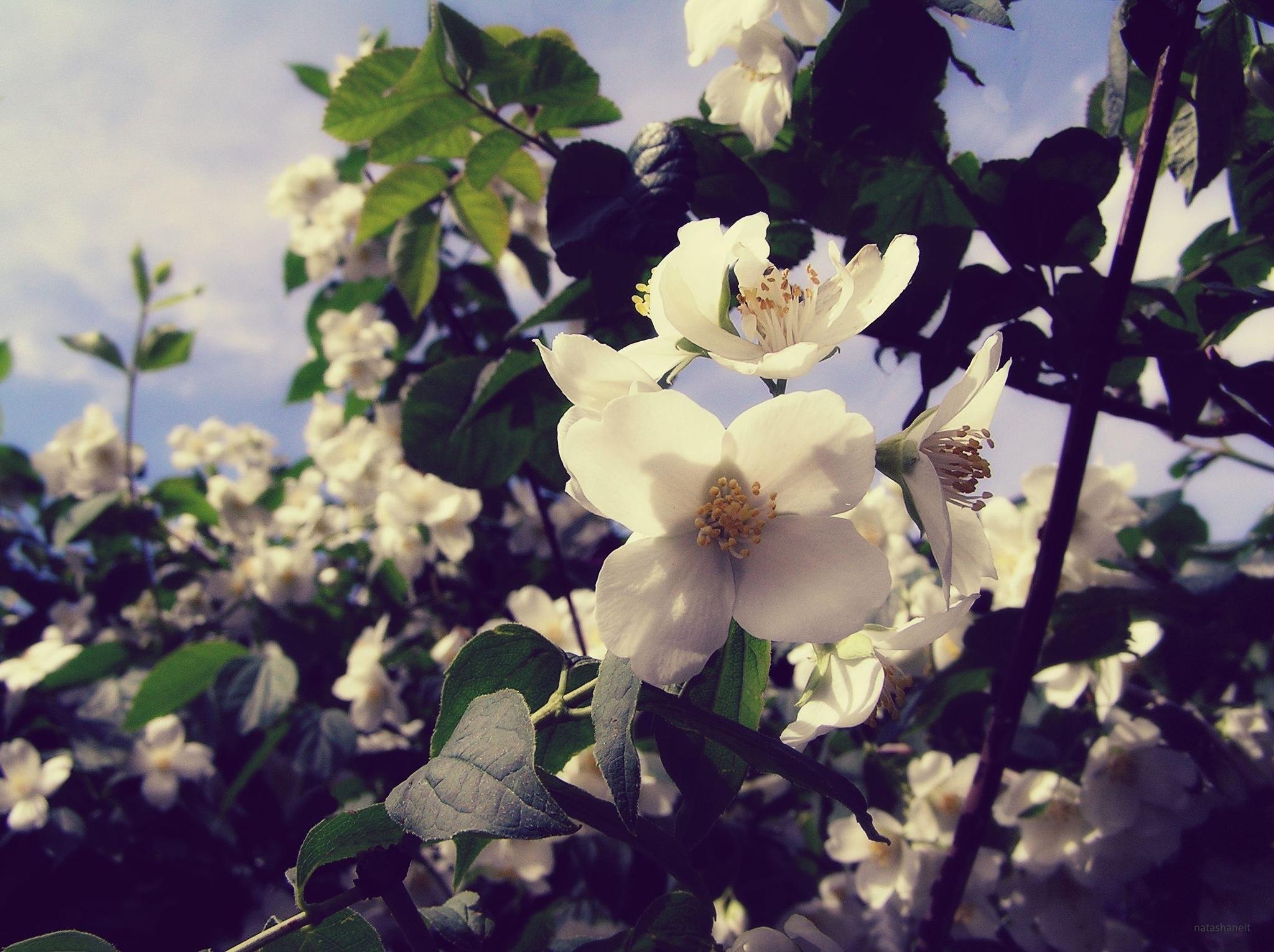 Flowering by natashaneit