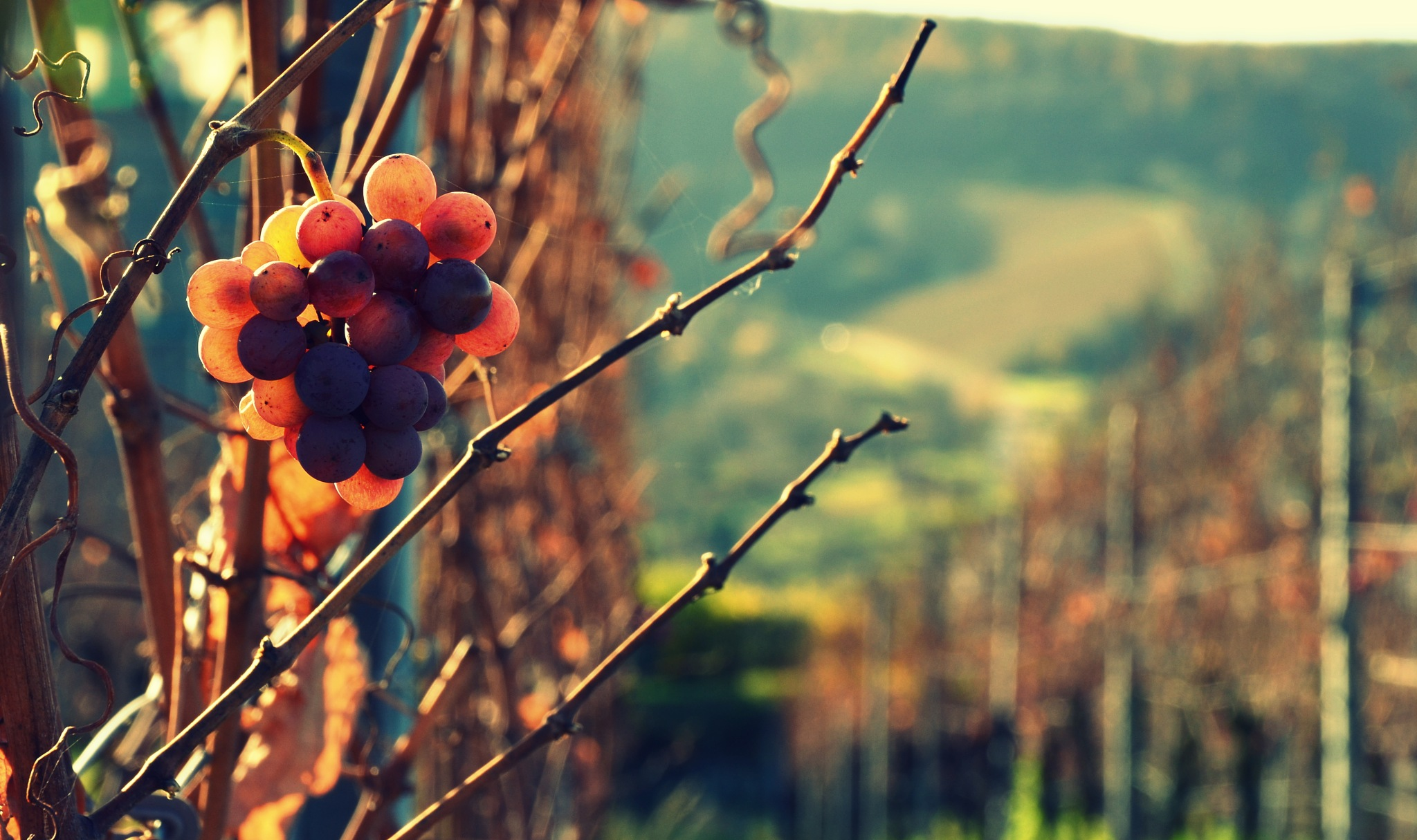 Late grapes by Stoica Emilian