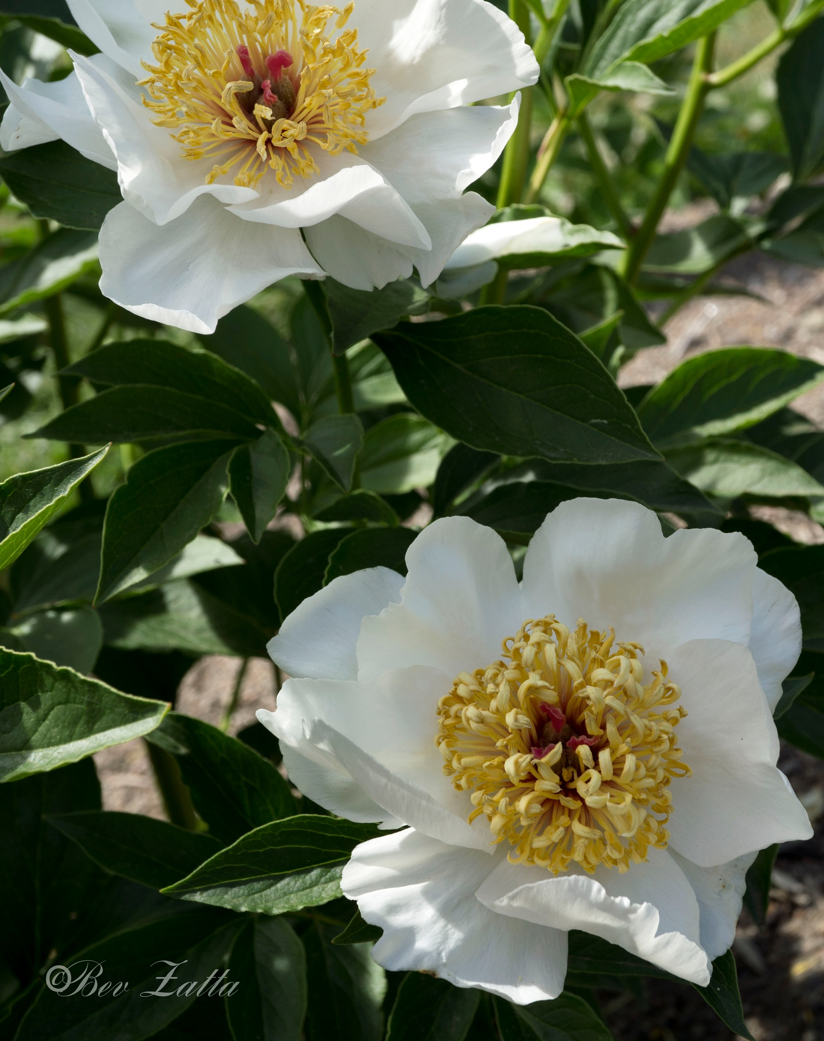 Peonies_white single petals by bevy