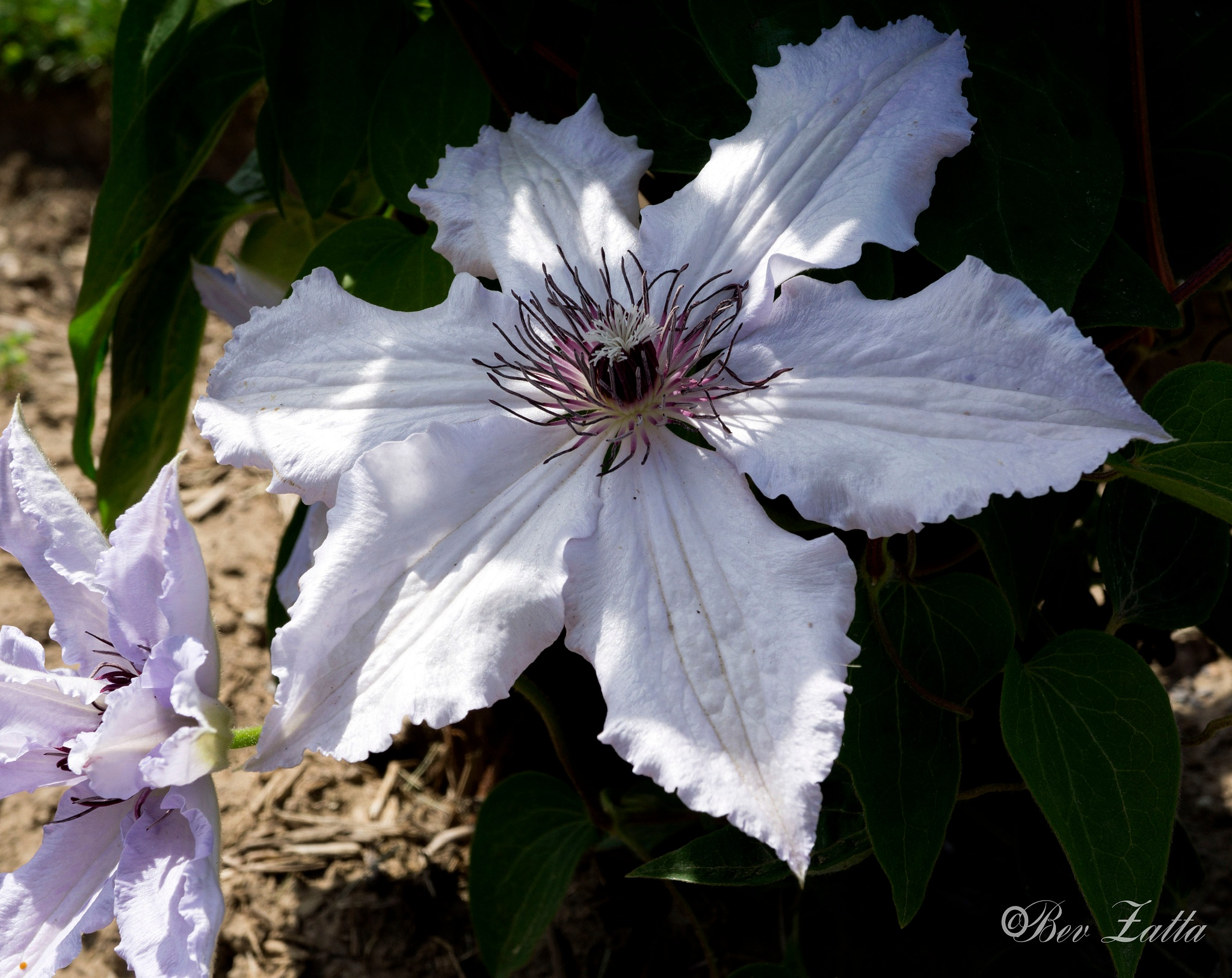 Clematis by bevy