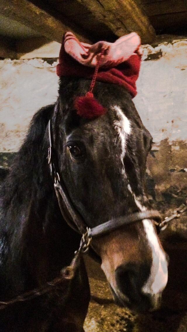 Photo in Animal #morgan #gelding