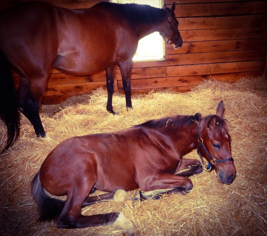 Thoroughbred foal  by horses1
