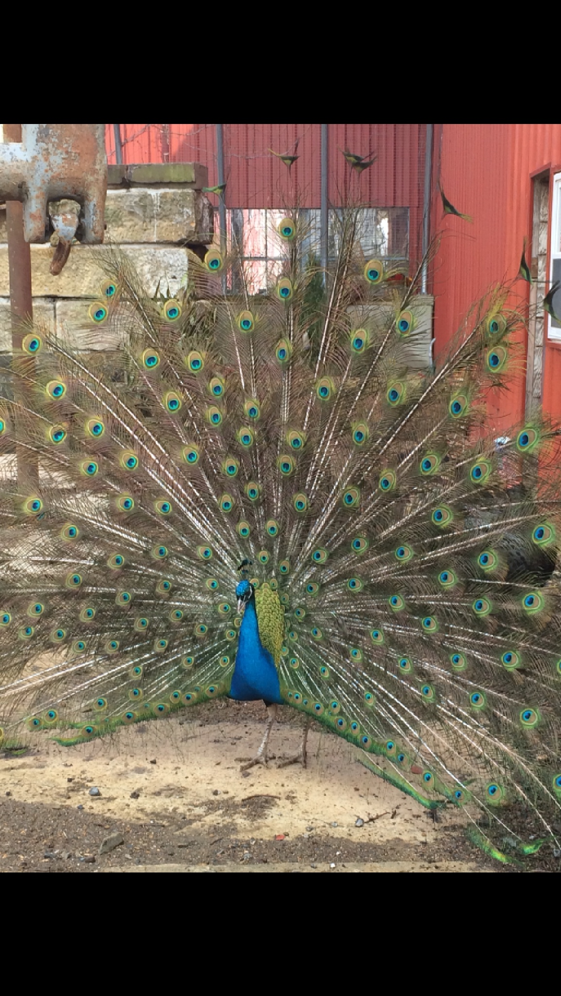 Peacock by horses1