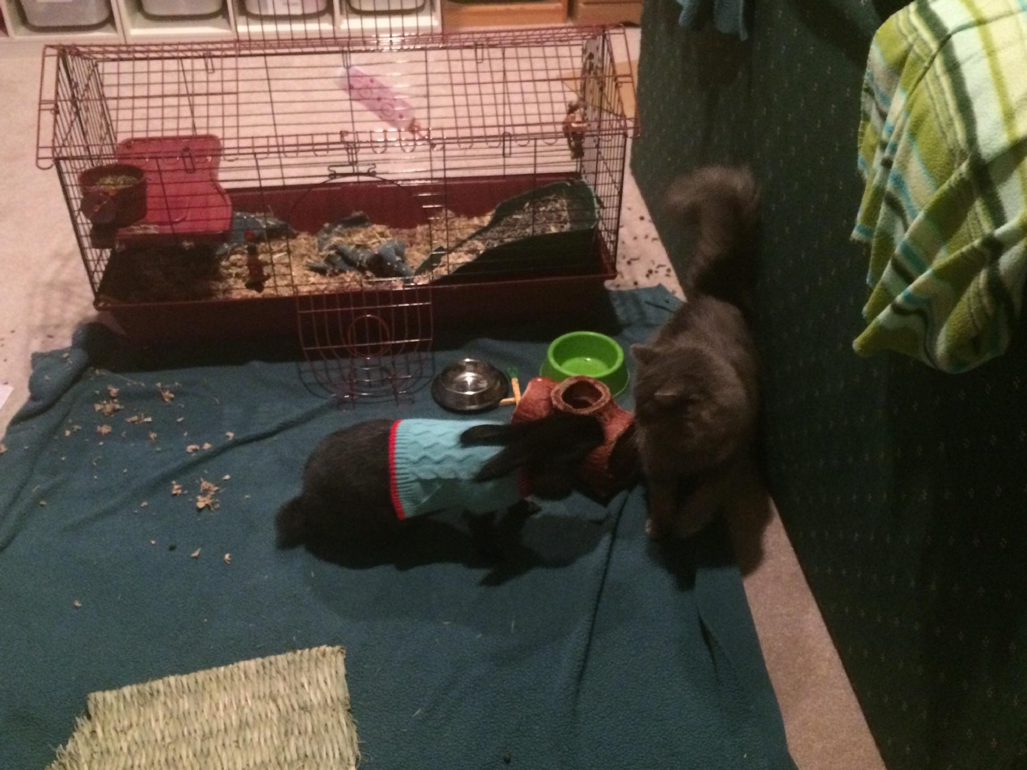 Rabbit vs Cat by horses1