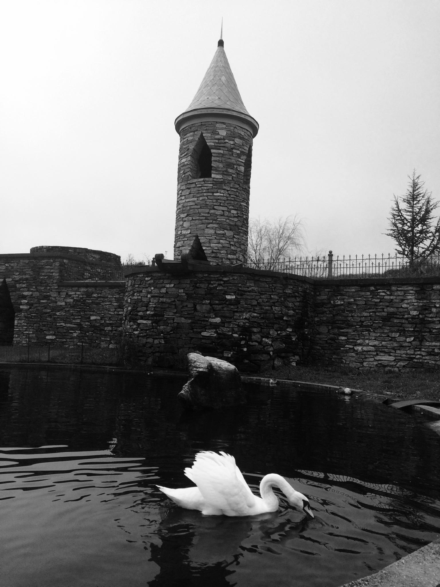 Black n white swan by horses1