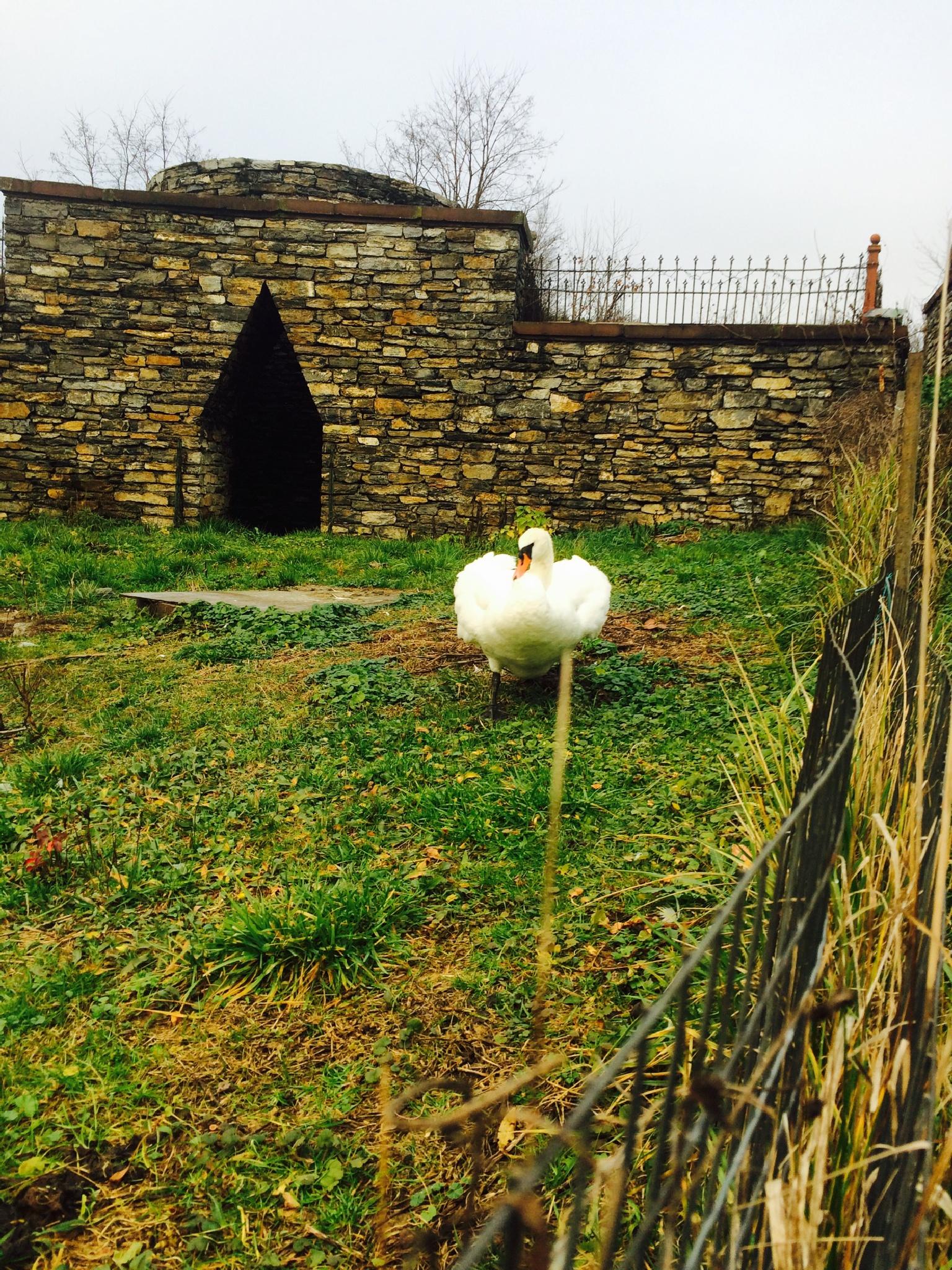 Swan by horses1