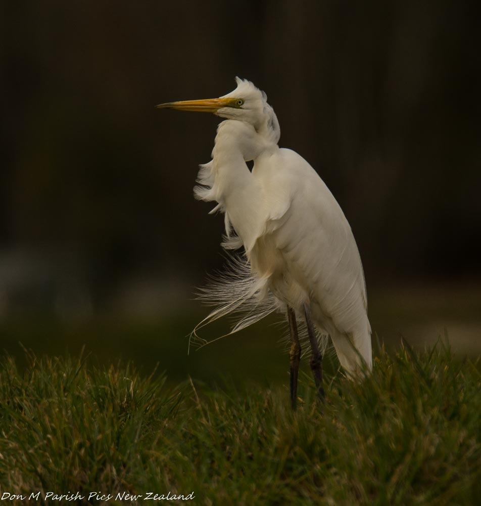 White Heron  by donaldparish12