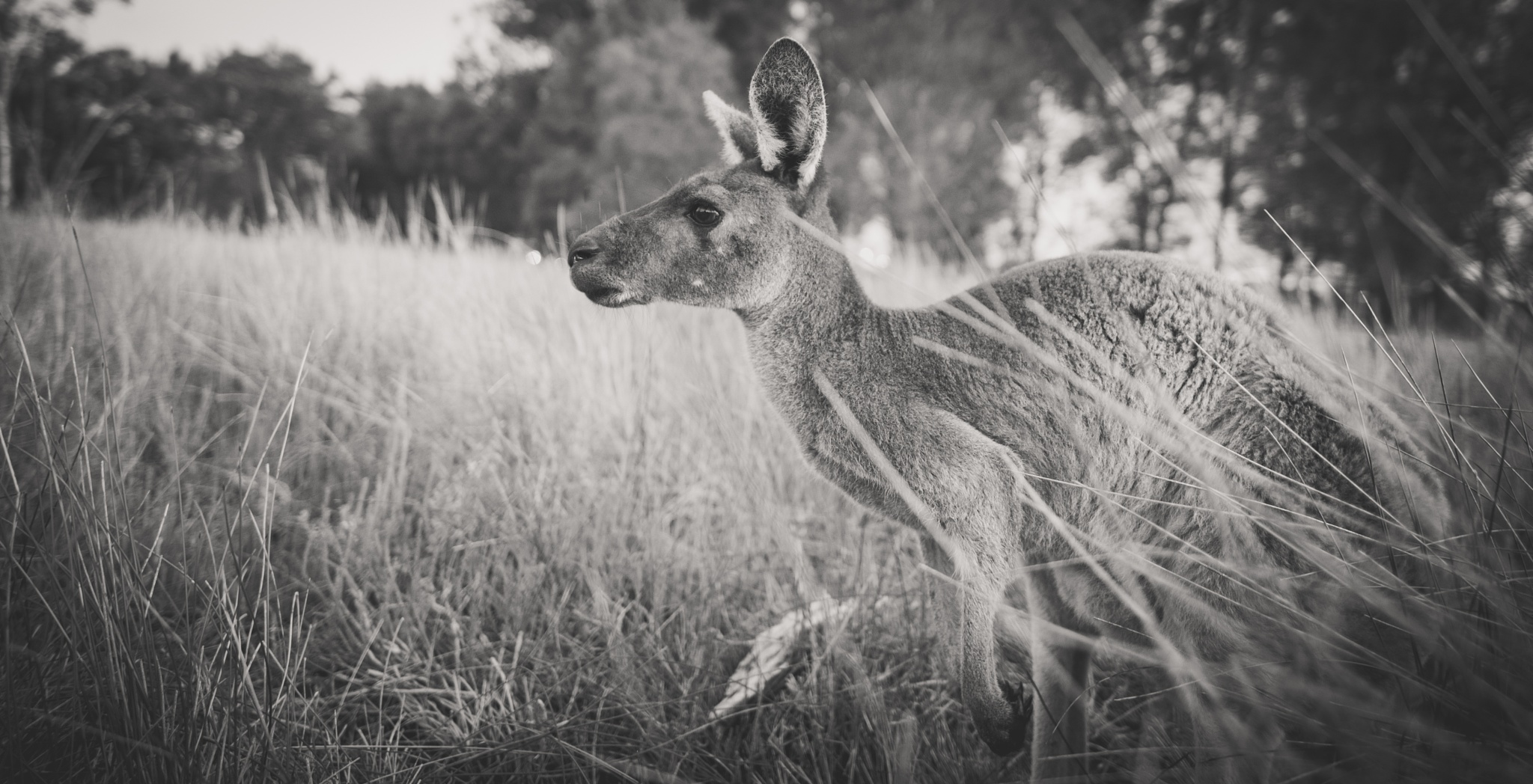 Kangaroo - WildLife by gaetangrond