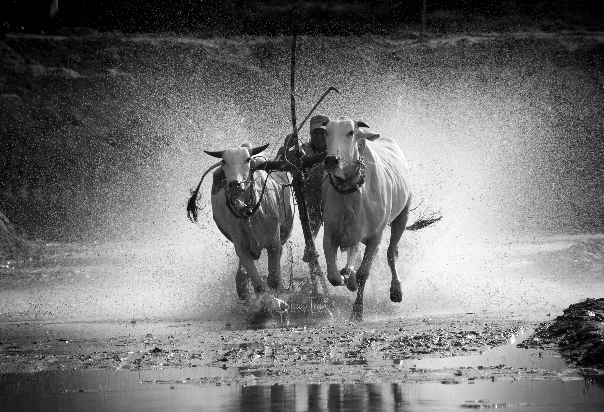 The racing of ox 2 by picastran