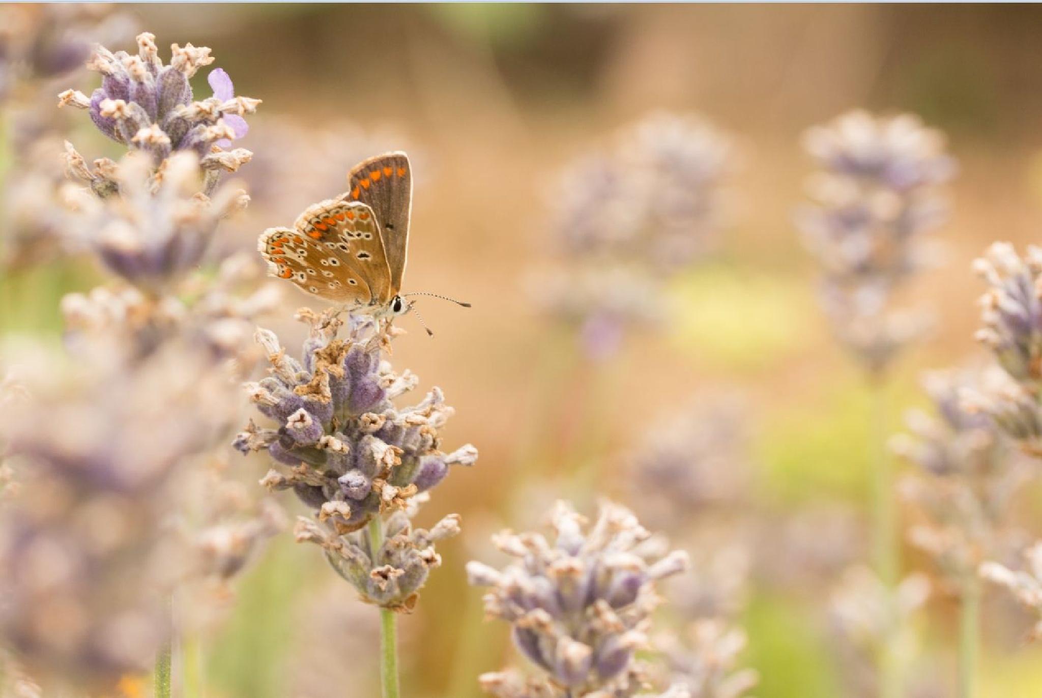 papillon dans la lavande  by abeille77